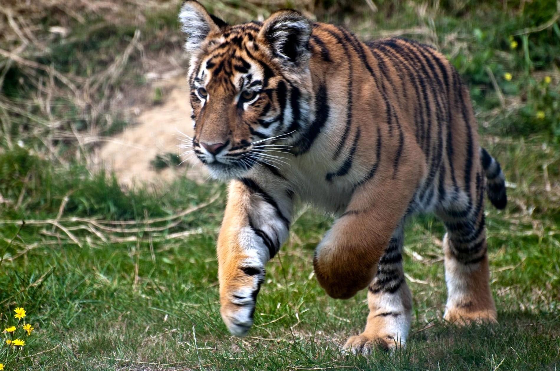 75070 скачать обои Животные, Тигр, Трава, Прыжок, Хищник - заставки и картинки бесплатно