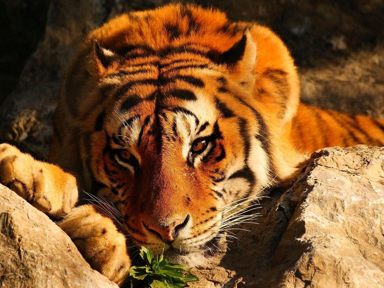 45156 descargar fondo de pantalla Animales, Tigres: protectores de pantalla e imágenes gratis