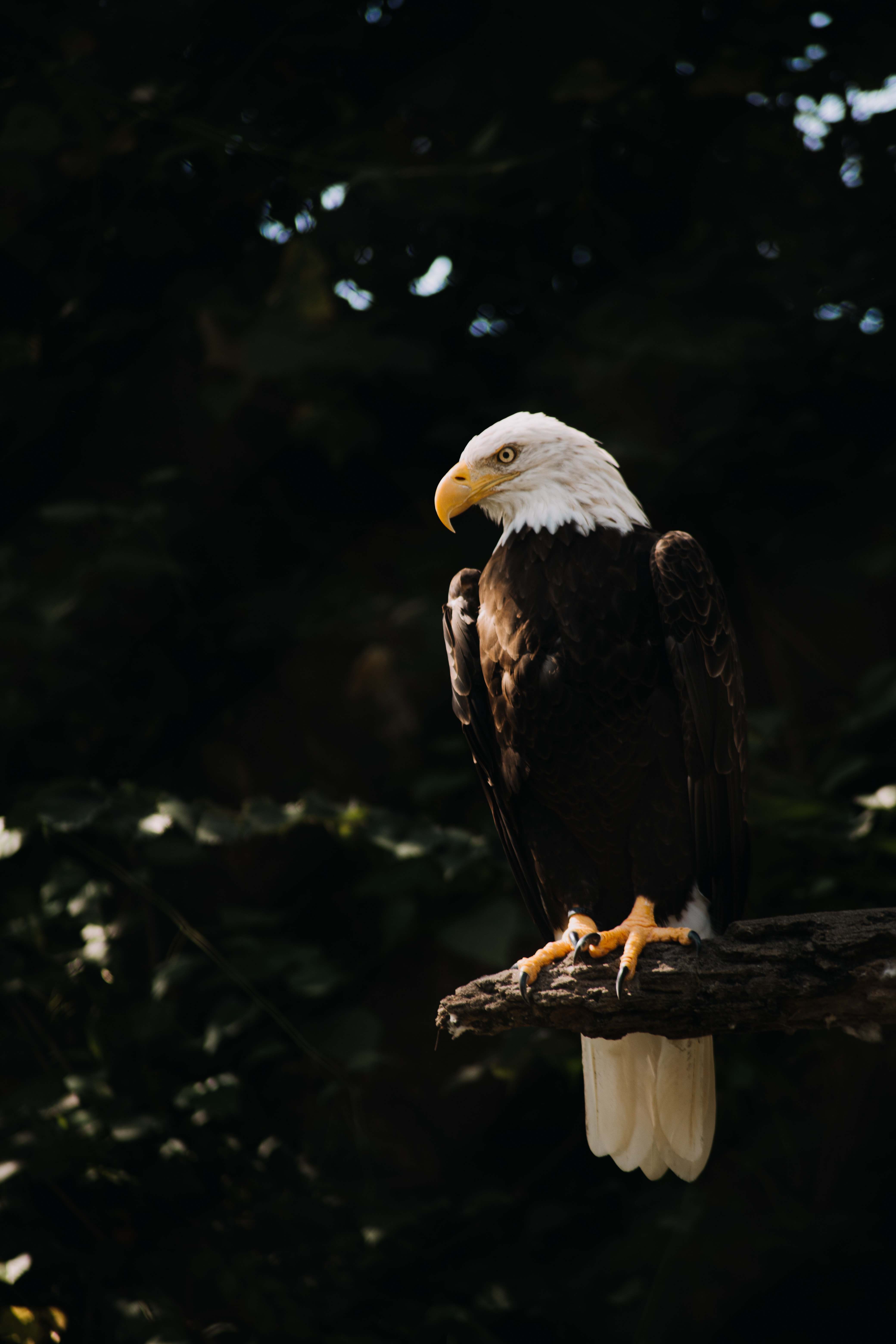 107914 download wallpaper Animals, Bald Eagle, White-Headed Eagle, Eagle, Bird, Predator, Wood, Tree screensavers and pictures for free