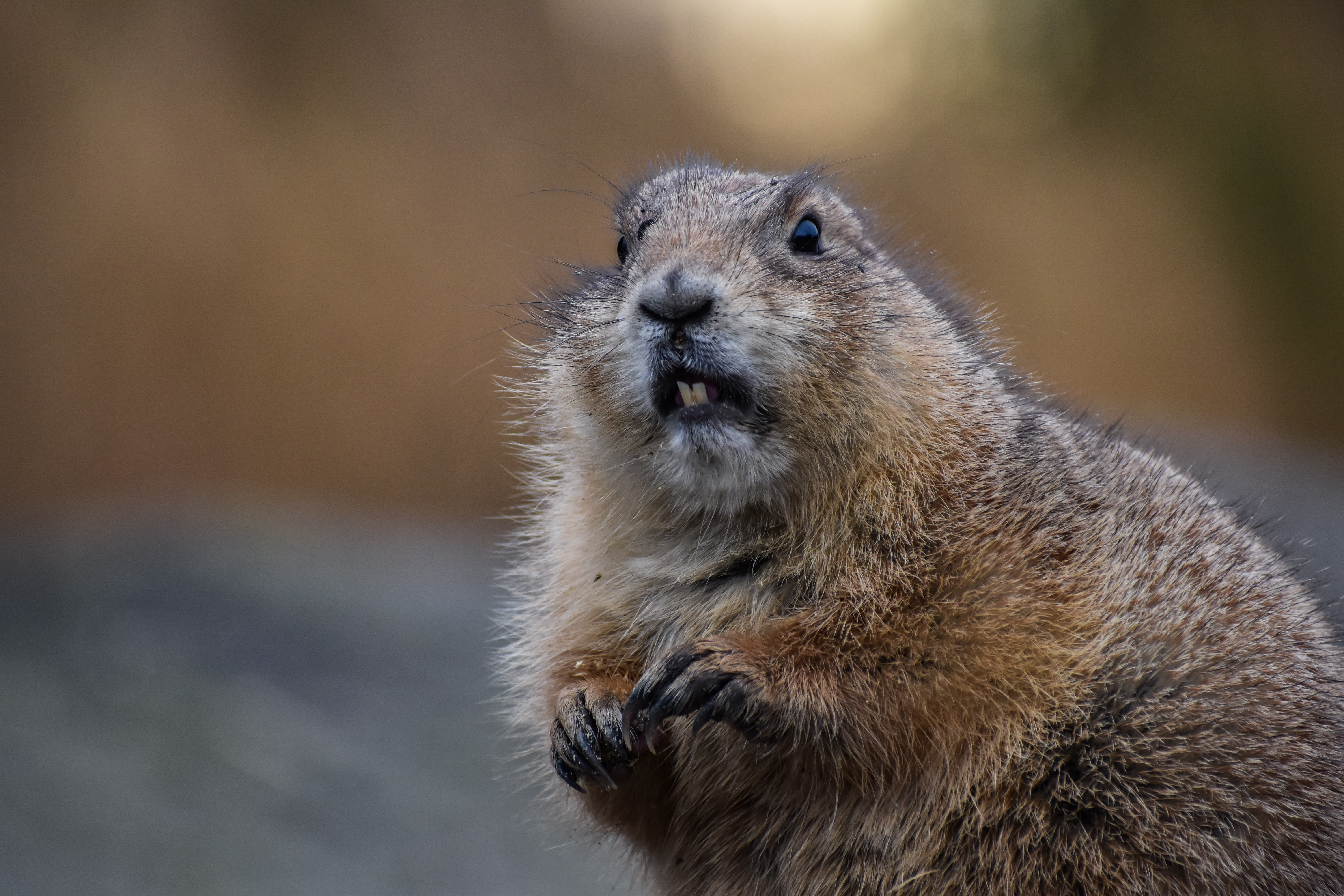 126312 download wallpaper Animals, Beaver, Rodent, Animal, Brown screensavers and pictures for free