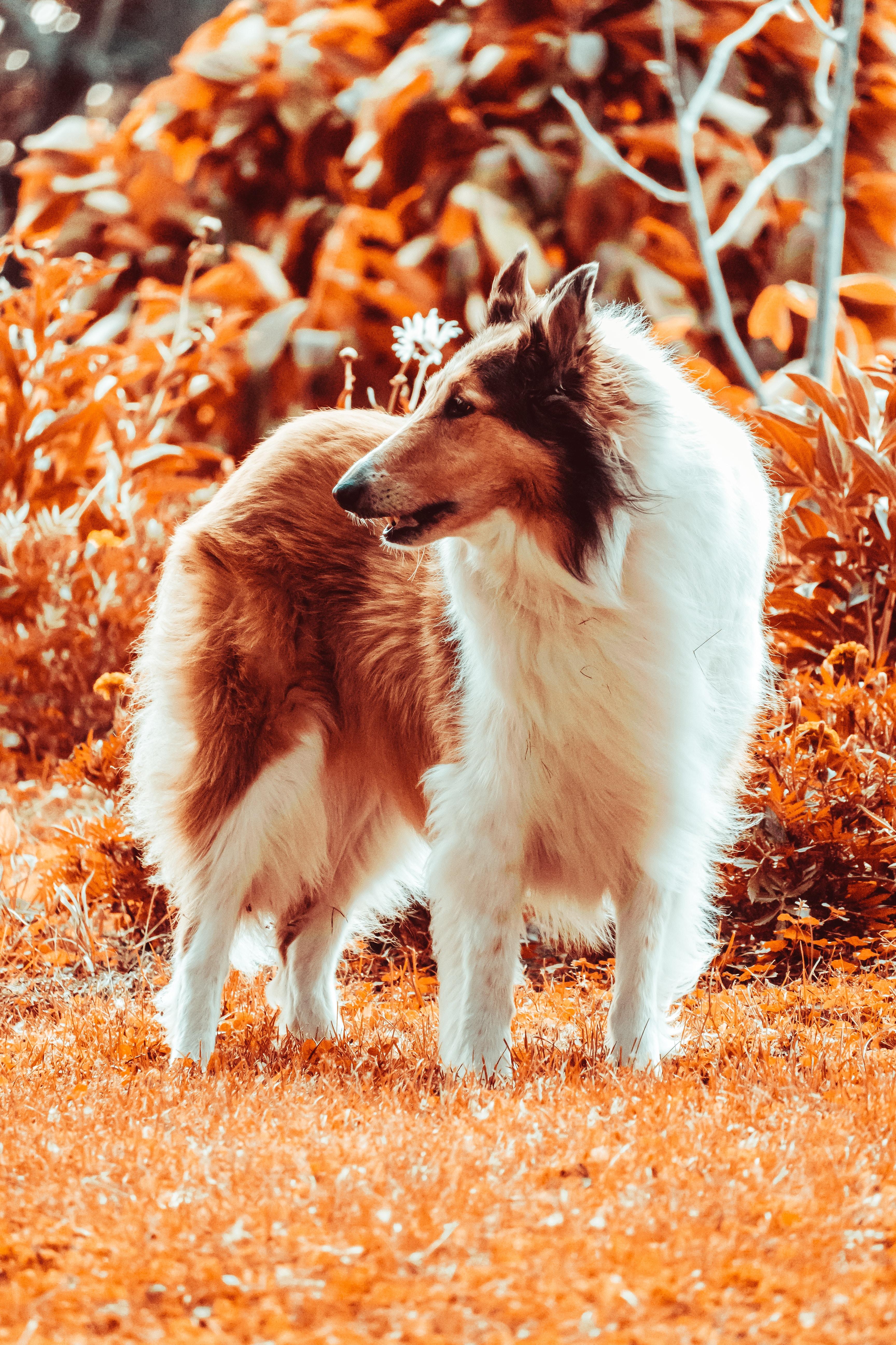 78992 скачать обои Животные, Шелти, Собака, Пушистый, Питомец, Животное - заставки и картинки бесплатно