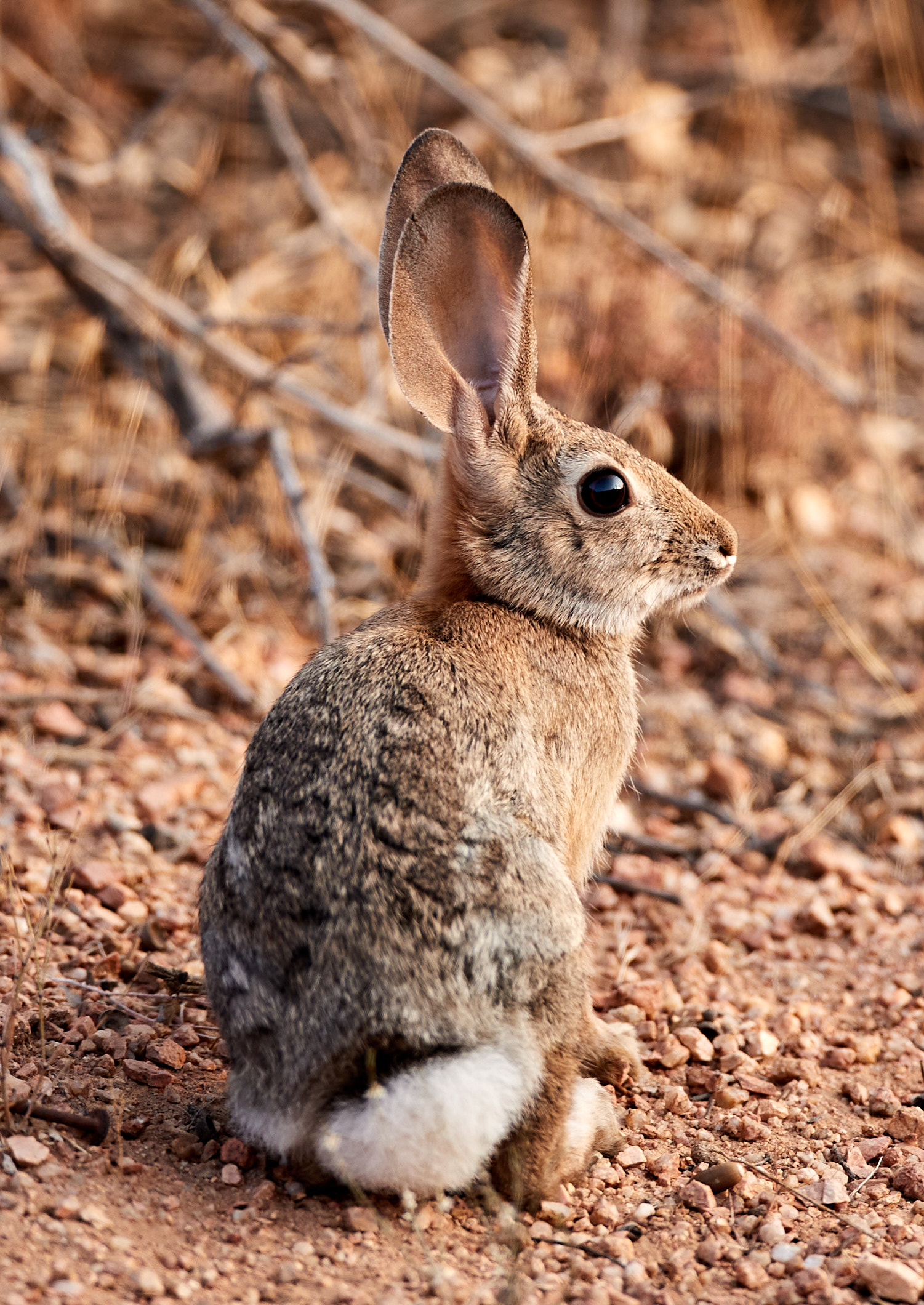 57520 download wallpaper Animals, Rabbit, Hare, Animal, Ears, Nice, Sweetheart screensavers and pictures for free