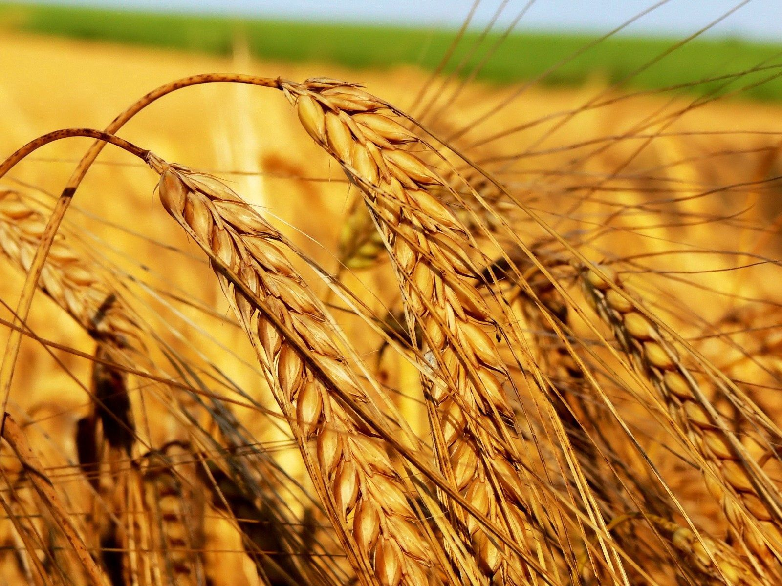 67165 Screensavers and Wallpapers Agriculture for phone. Download Nature, Field, Ears, Spikes, Harvest, Cereals, Agriculture, Crops pictures for free