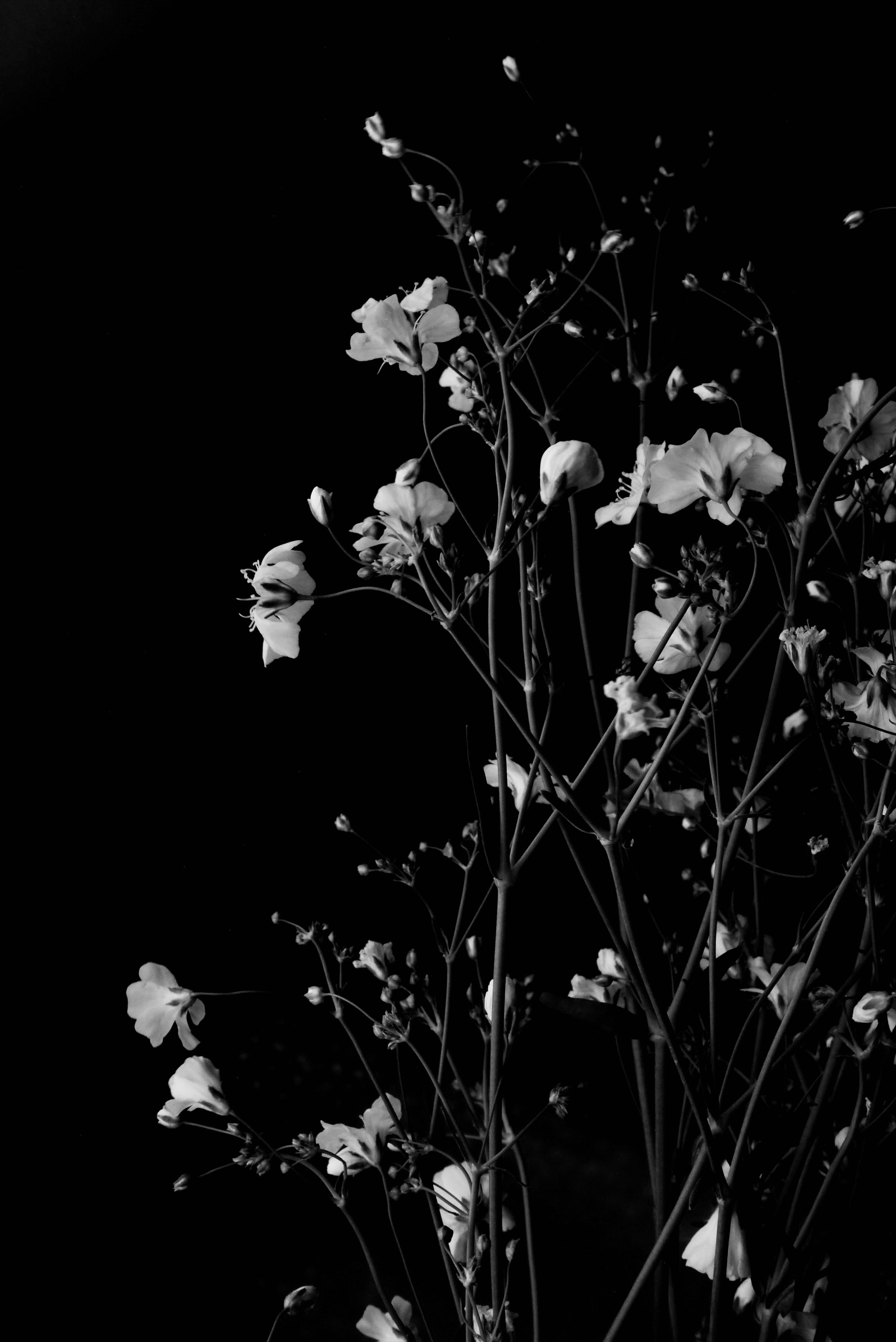 86556 baixar papel de parede Galhos, Ramos, Preto E Branco, Preto-E-Branco, O Preto, Flores - protetores de tela e imagens gratuitamente