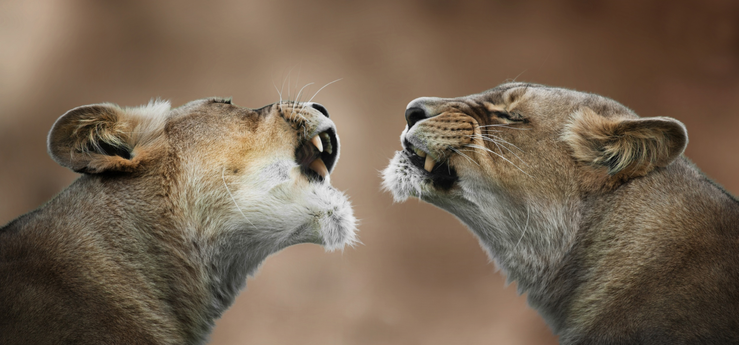 100166 download wallpaper Animals, Lionesses, Lioness, Couple, Pair, Grin, Anger, Predator, Lions screensavers and pictures for free