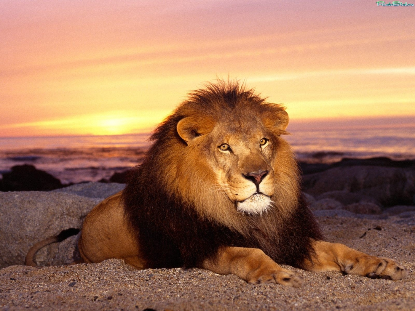 36219 Screensavers and Wallpapers Lions for phone. Download Animals, Lions pictures for free