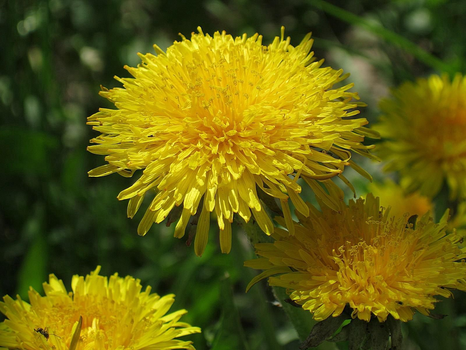 63106 скачать обои Цветы, Одуванчики, Зелень, Насекомое, Ярко, Солнечно - заставки и картинки бесплатно