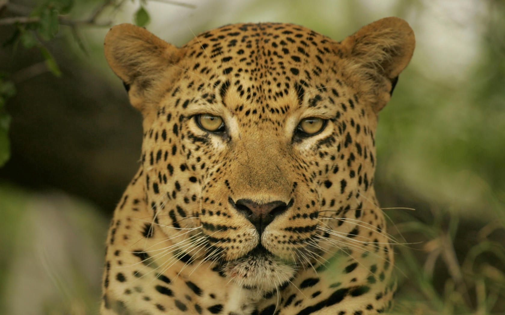 157393 download wallpaper Animals, Leopard, Muzzle, Color, Sight, Opinion screensavers and pictures for free
