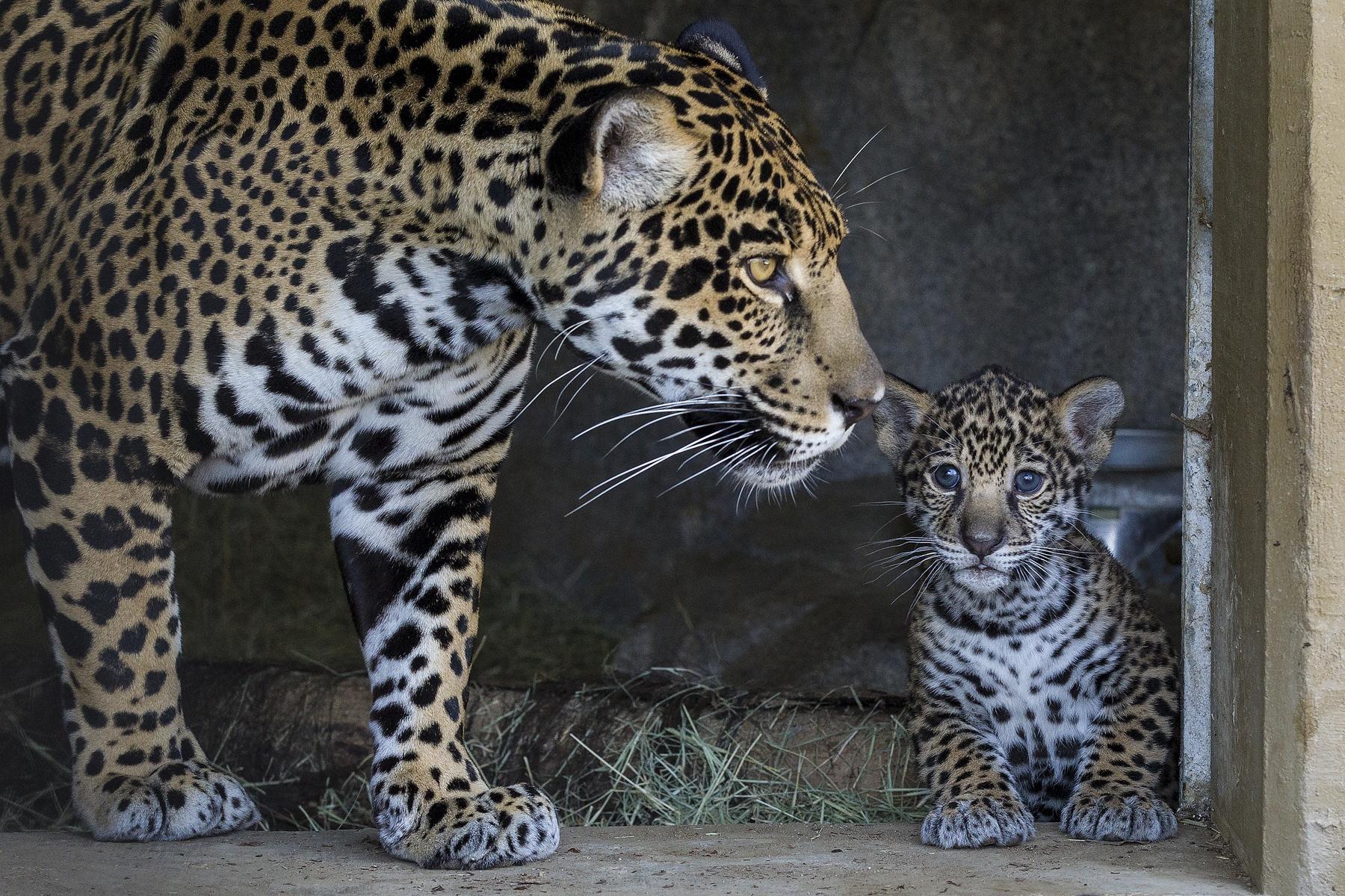 86221 Hintergrundbild 720x1280 kostenlos auf deinem Handy, lade Bilder Tiere, Jaguar, Junge, Pflege, Joey, Mutter 720x1280 auf dein Handy herunter