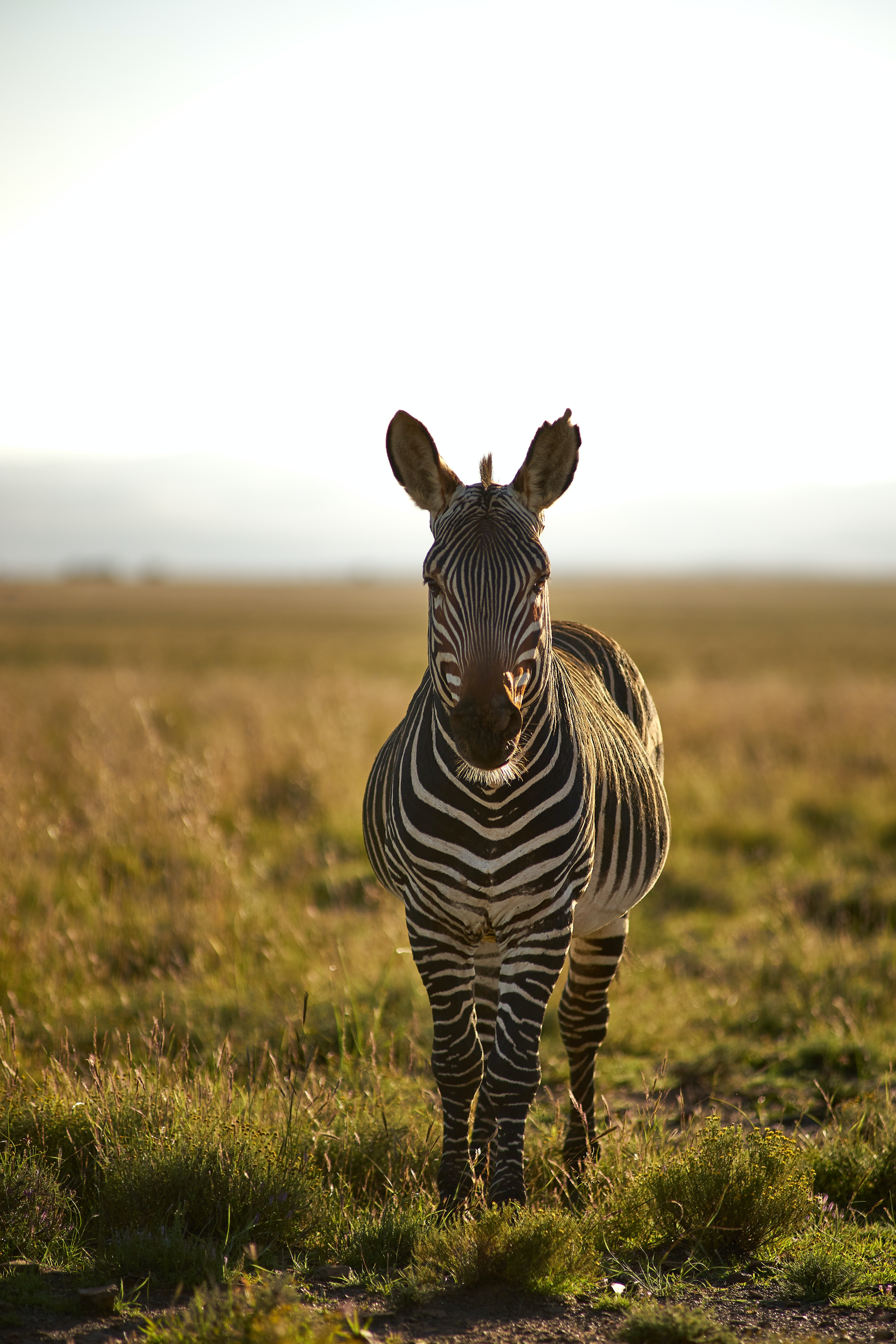82239 download wallpaper Animals, Zebra, Animal, Stripes, Streaks, Wildlife screensavers and pictures for free