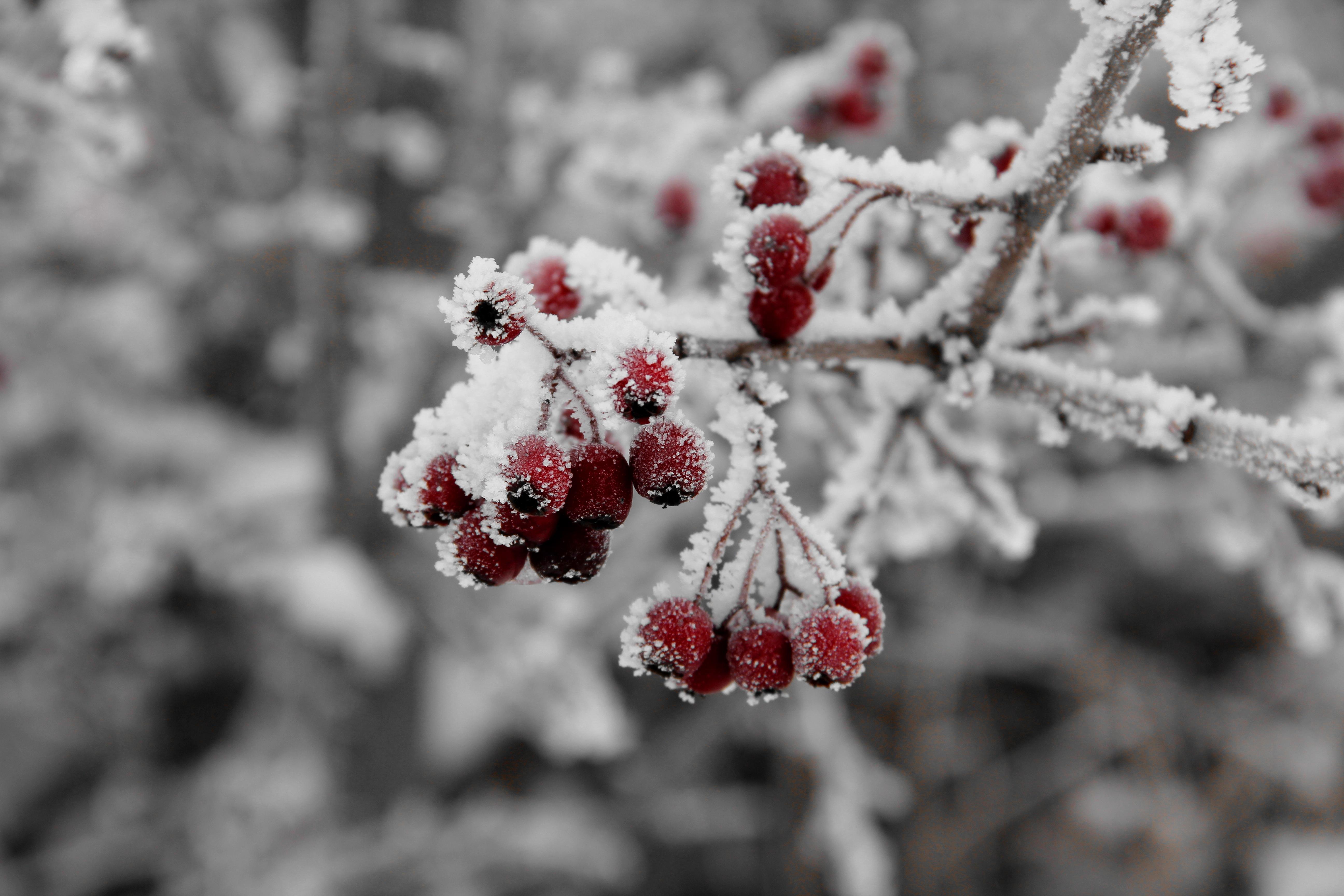 150118 скачать обои Рябина, Природа, Иней, Мороз - заставки и картинки бесплатно