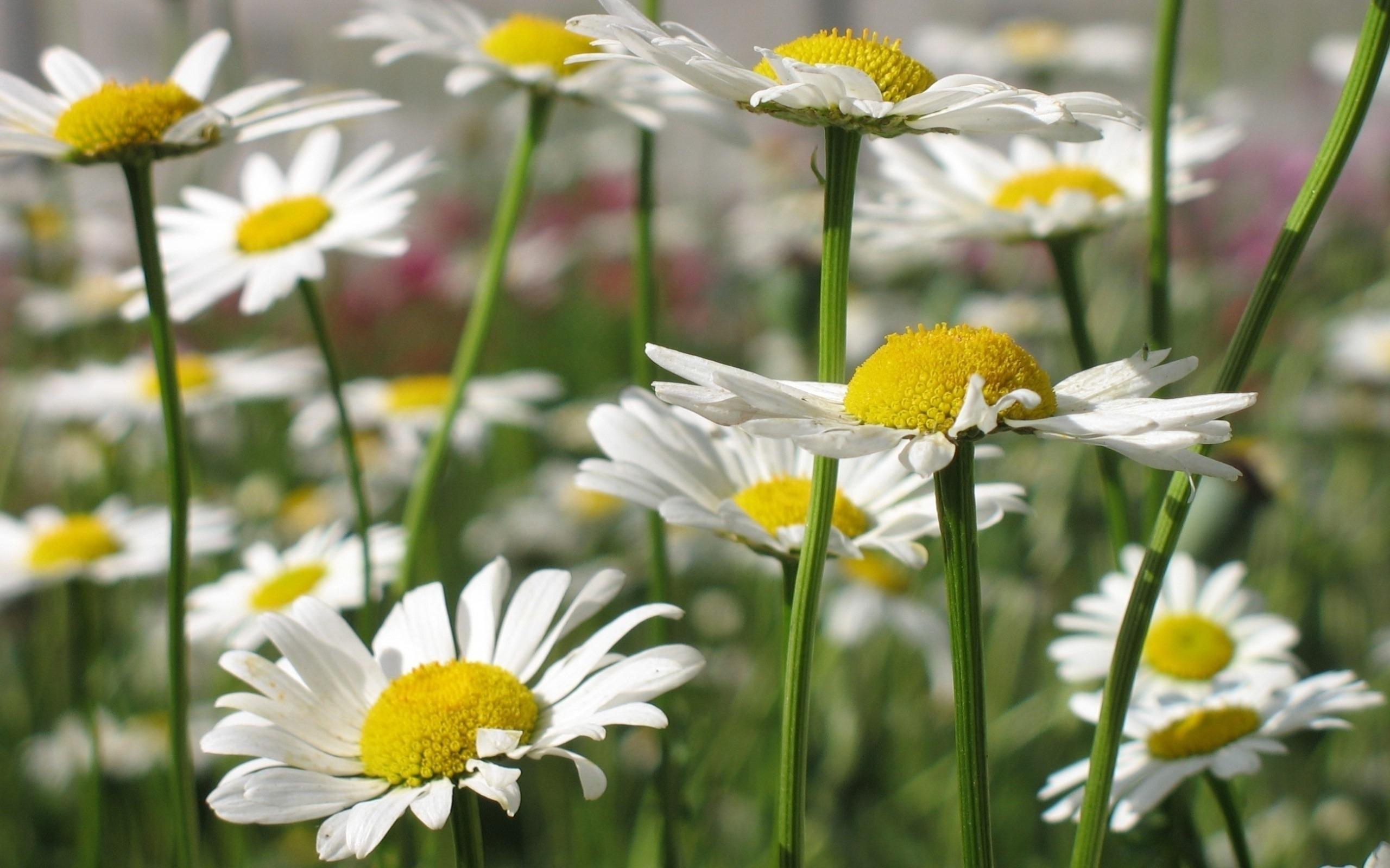 49853 скачать обои Растения, Цветы, Ромашки - заставки и картинки бесплатно
