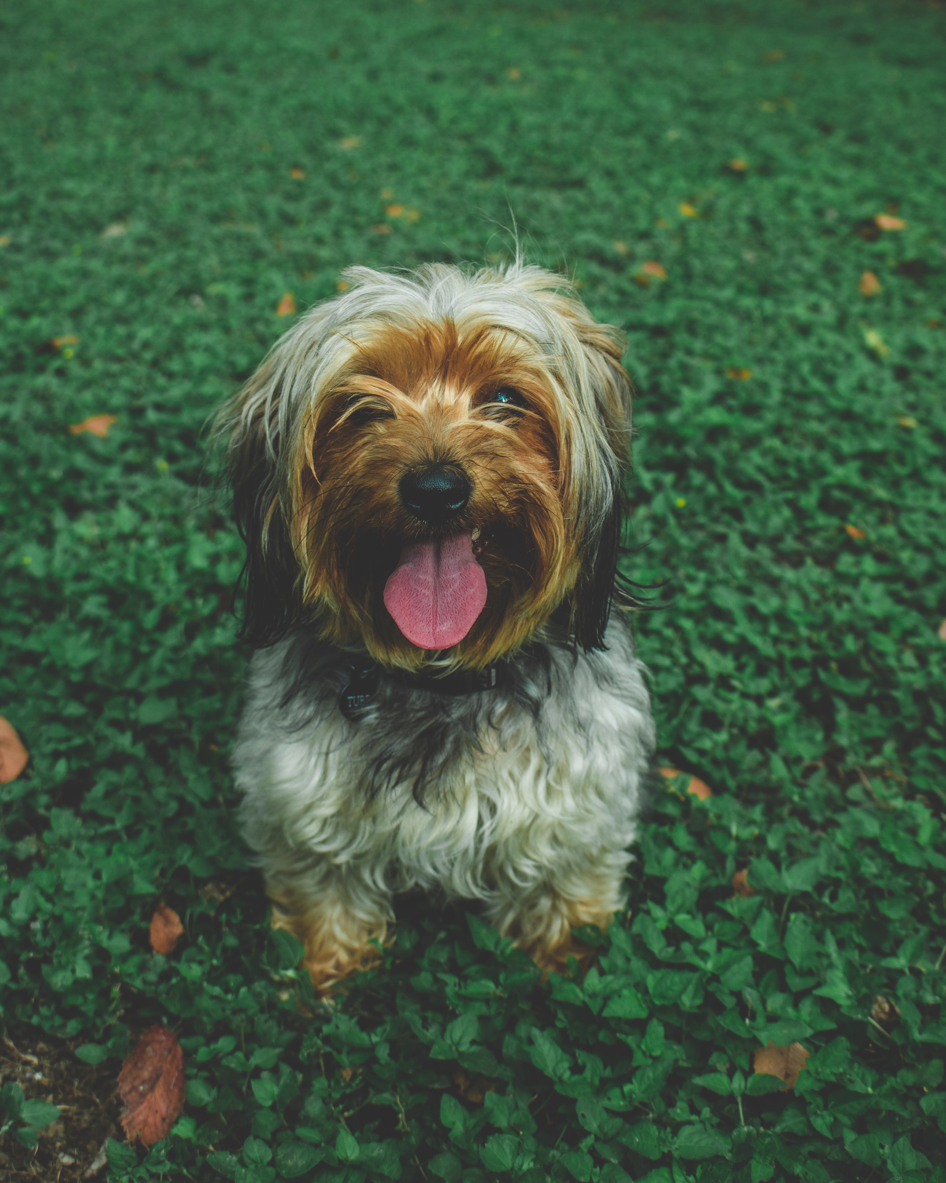 147335 download wallpaper Animals, Chinese Imperial Dog, Dog, Muzzle, Protruding Tongue, Tongue Stuck Out screensavers and pictures for free