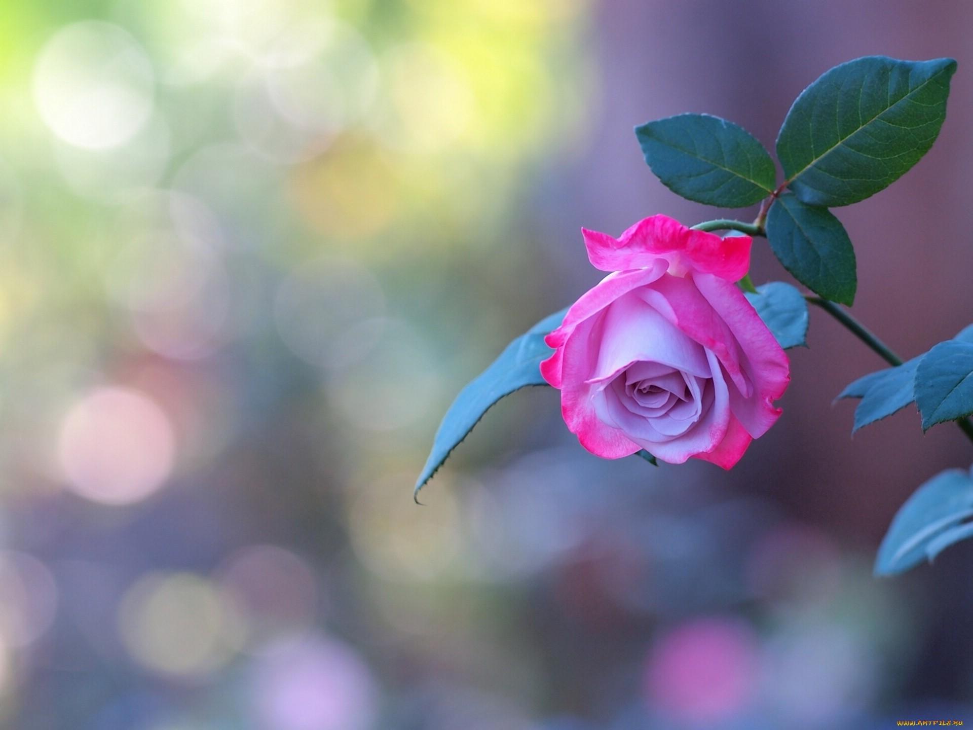 18499 скачать обои Растения, Цветы, Розы - заставки и картинки бесплатно