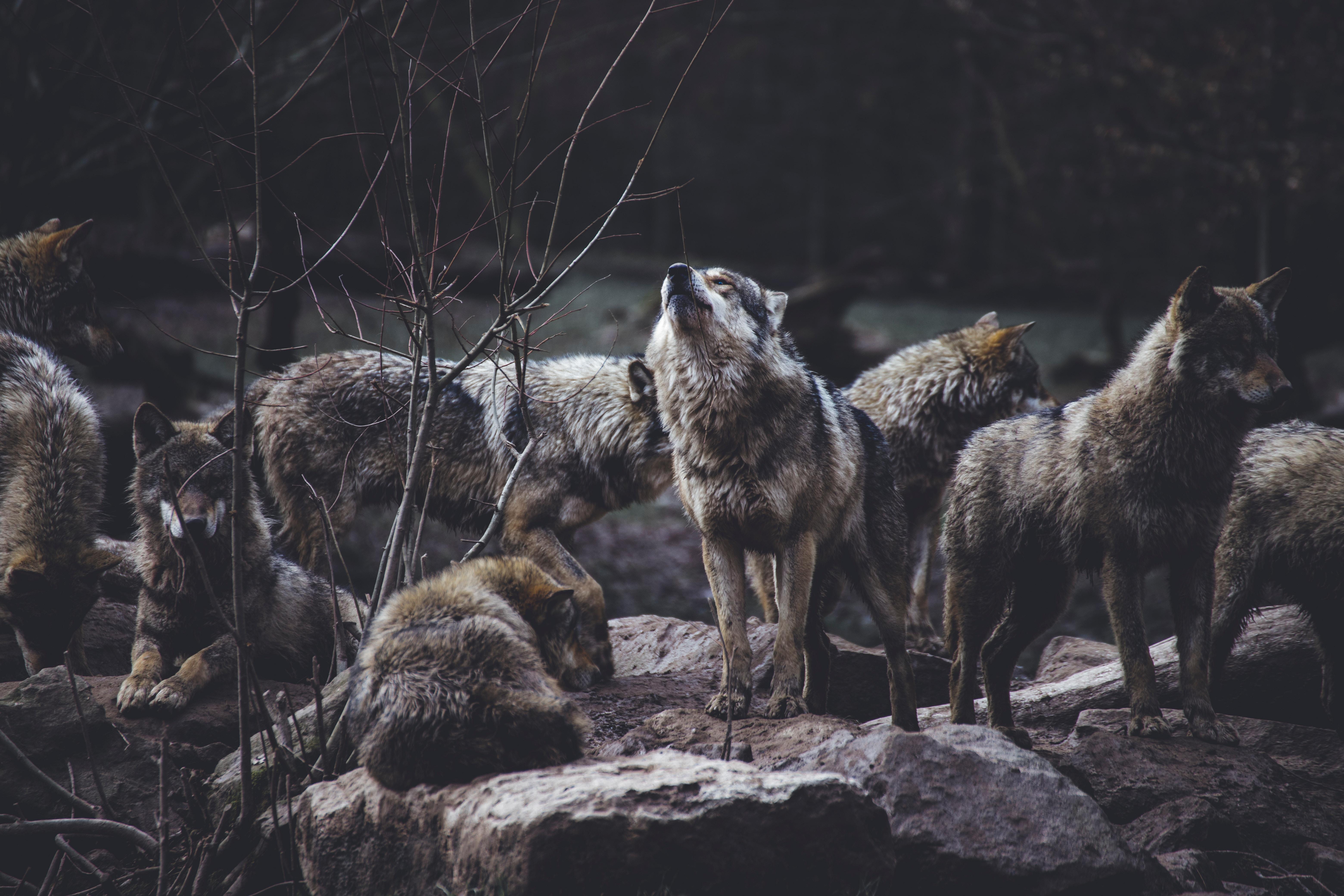 114453 Hintergrundbild herunterladen Wölfe, Tiere, Wilde Natur, Wildlife, Herde, Raubtiere, Heulen - Bildschirmschoner und Bilder kostenlos