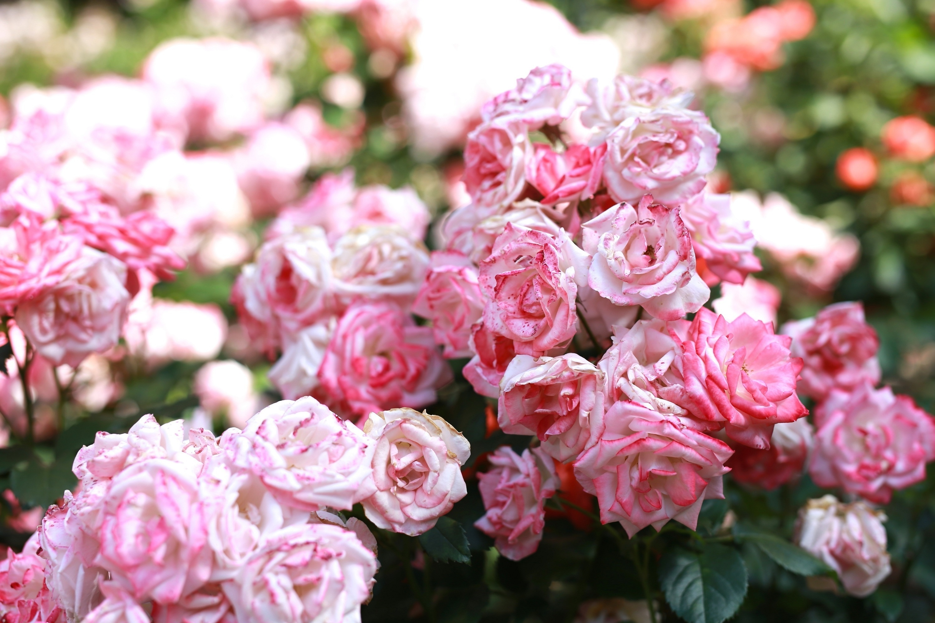 142983 download wallpaper Flowers, Pink, Buds, Bloom, Flowering, Roses screensavers and pictures for free