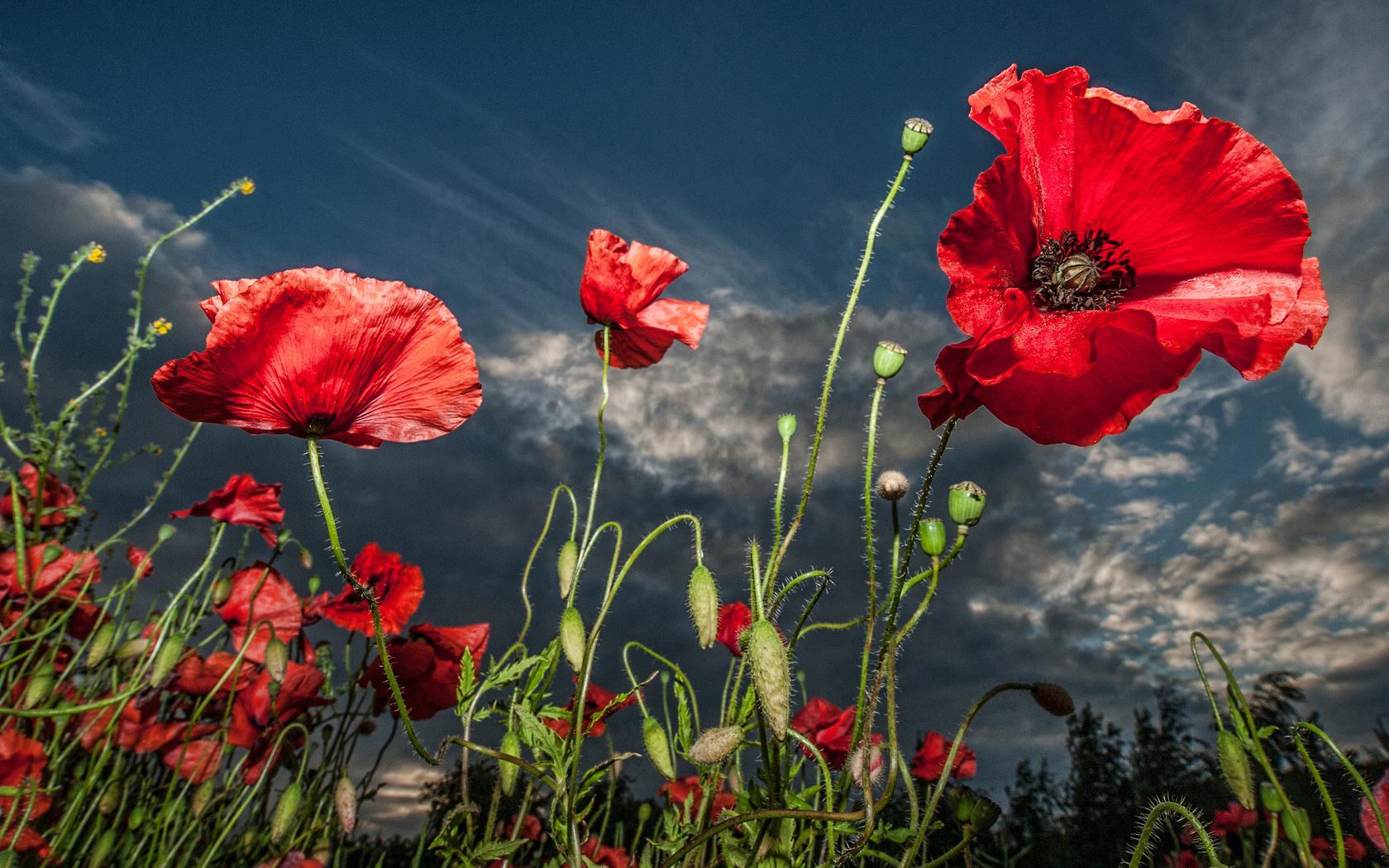 16303 скачать обои Растения, Цветы, Маки - заставки и картинки бесплатно