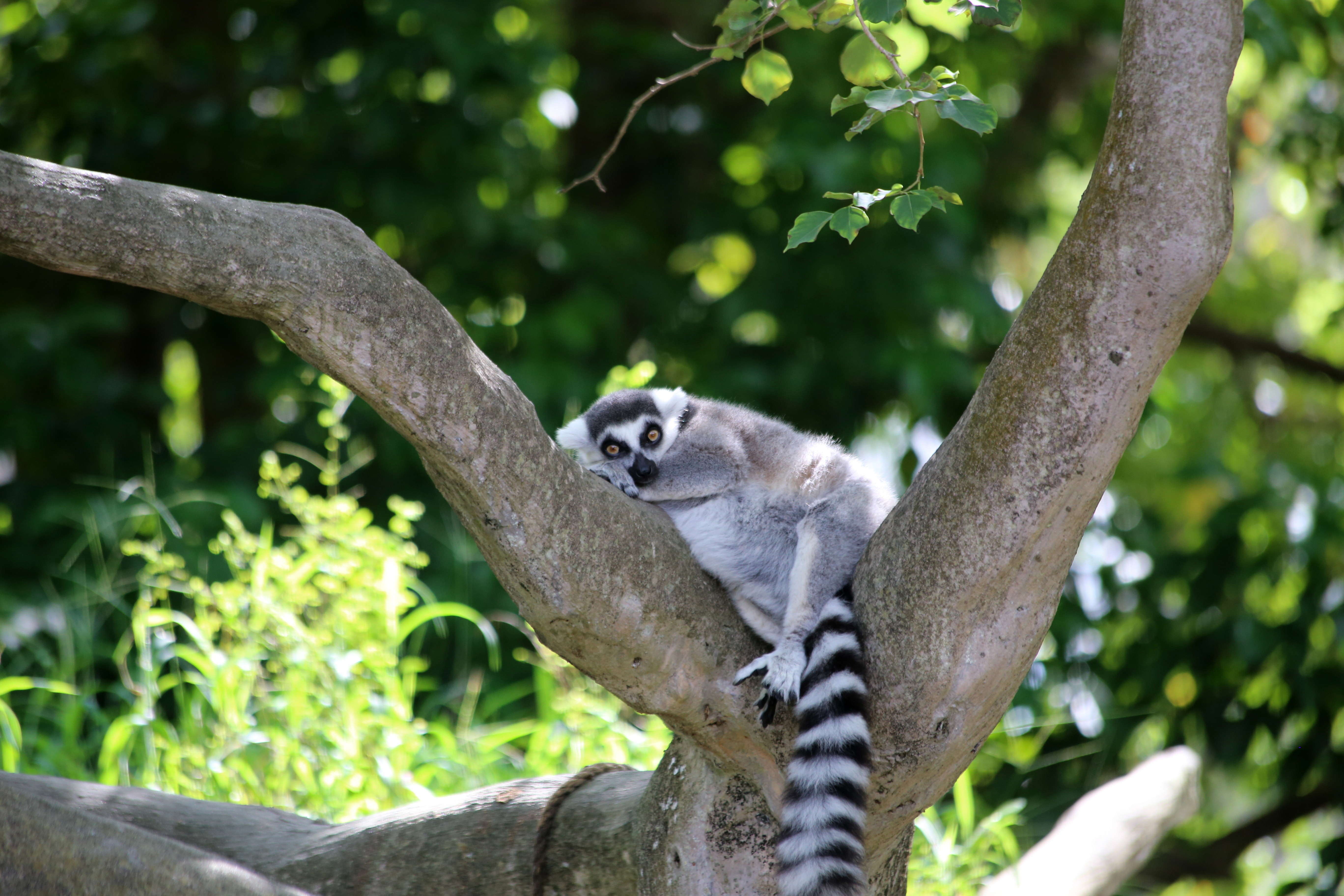 115615 download wallpaper Animals, Lemur, Nice, Sweetheart, Animal, Wood, Tree screensavers and pictures for free