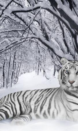 13741 скачать обои Животные, Зима, Тигры, Снег - заставки и картинки бесплатно
