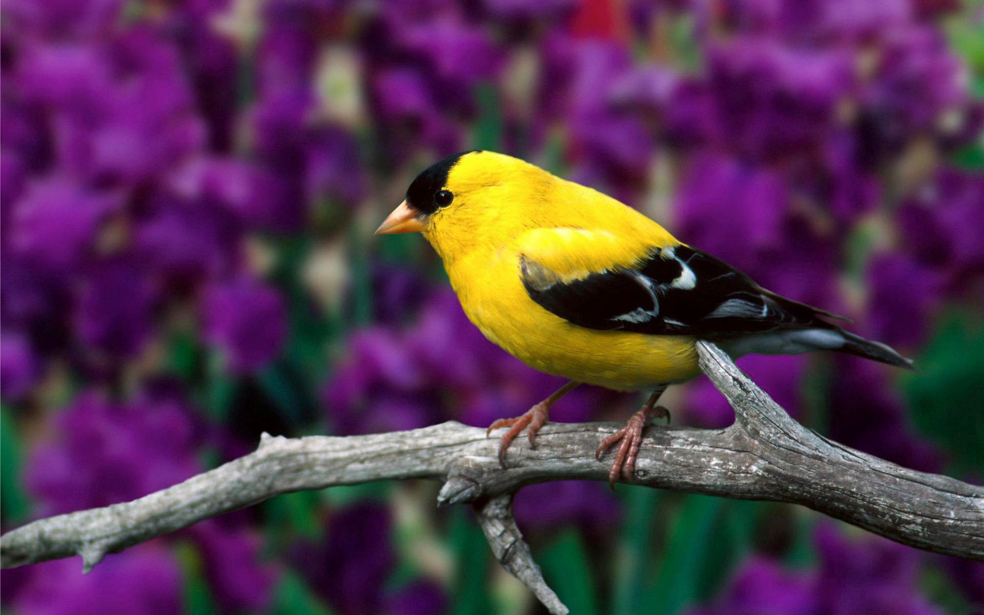 56217 download wallpaper Animals, American Goldfinch, American Flaunt, Bird, Branch, Leaves, Color, Flowers screensavers and pictures for free