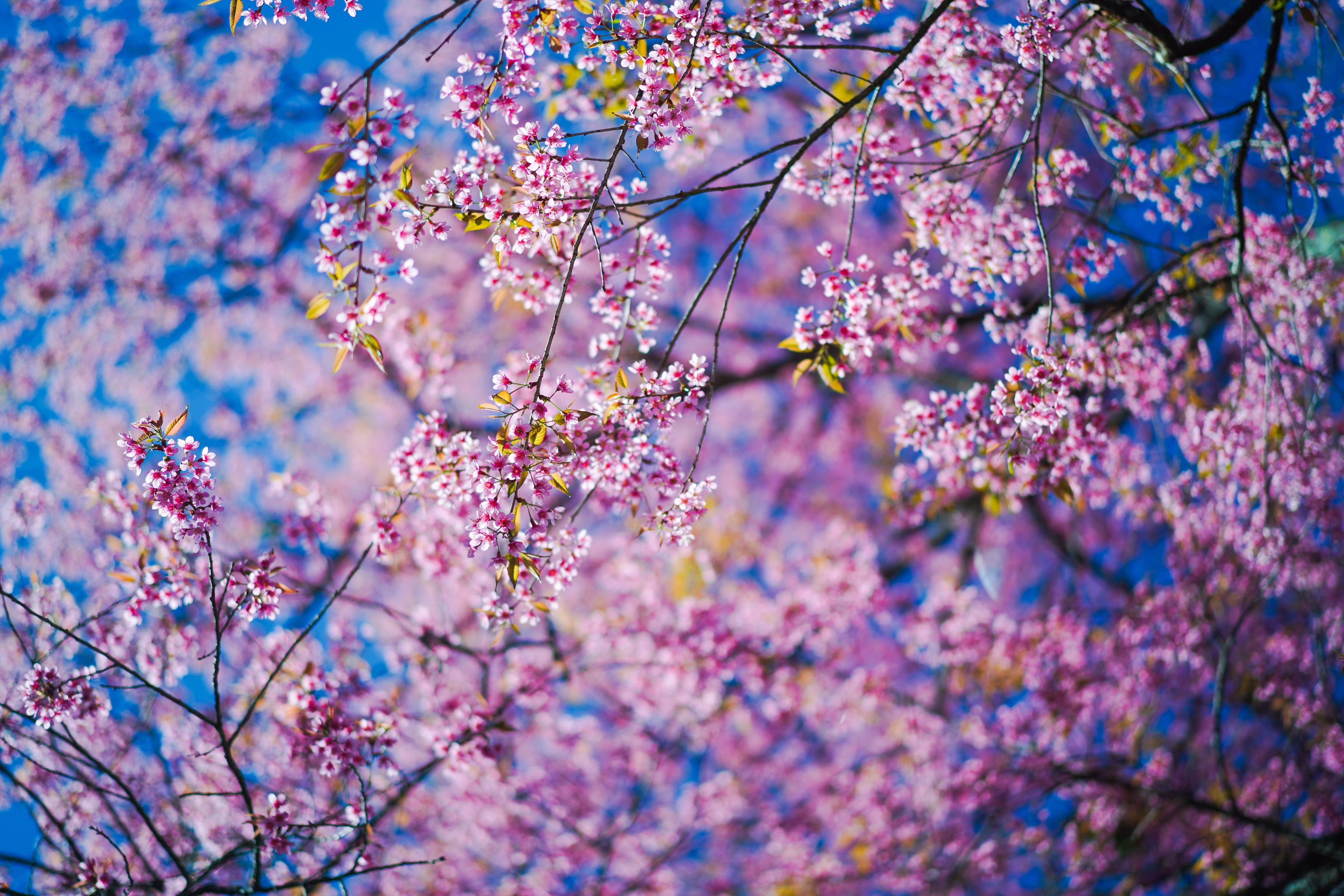 73419 Screensavers and Wallpapers Sakura for phone. Download Flowers, Pink, Sakura, Branches pictures for free