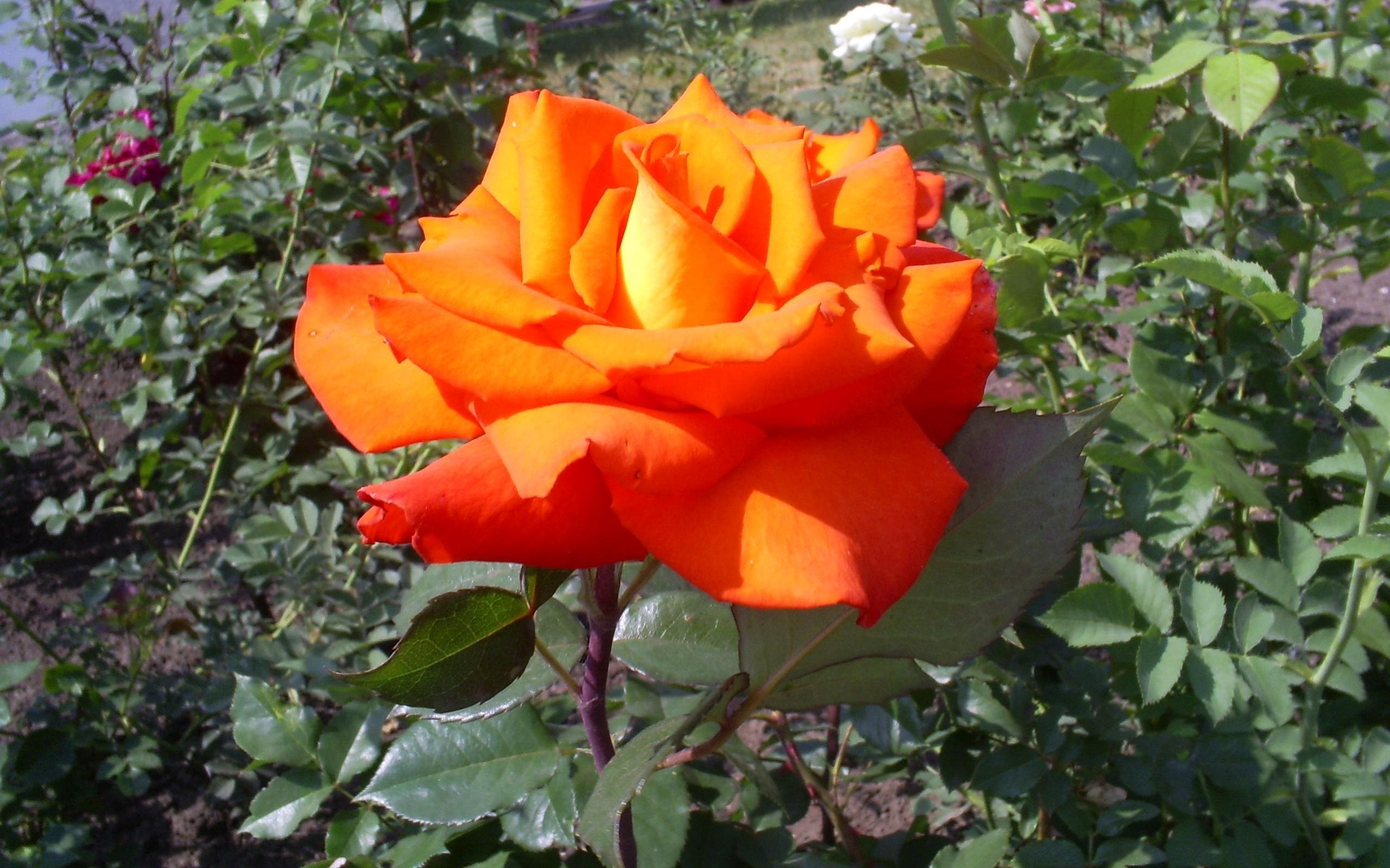 4669 скачать обои Растения, Цветы, Розы - заставки и картинки бесплатно
