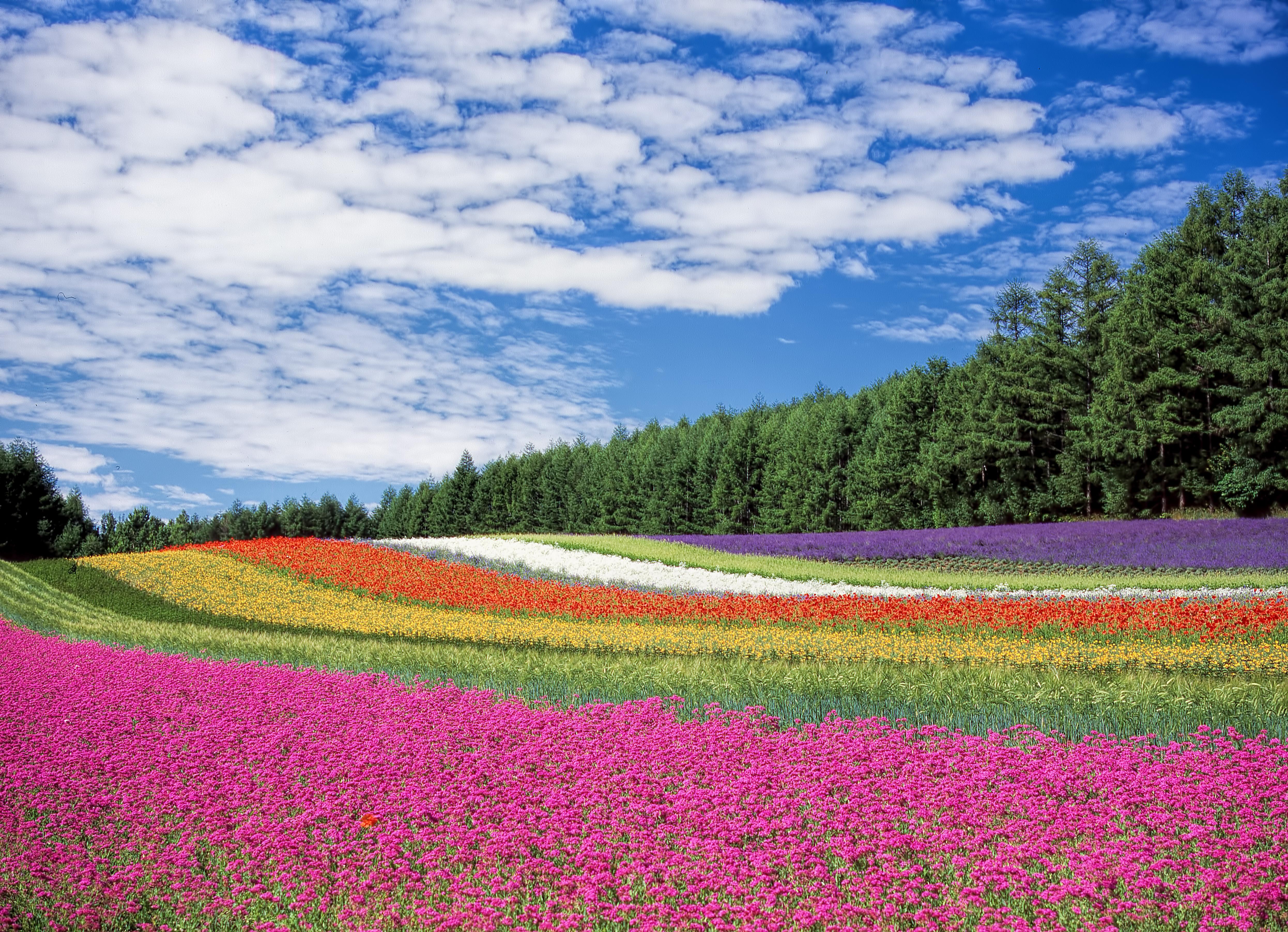 136787 скачать обои Природа, Хоккайдо, Япония, Поле, Цветы - заставки и картинки бесплатно