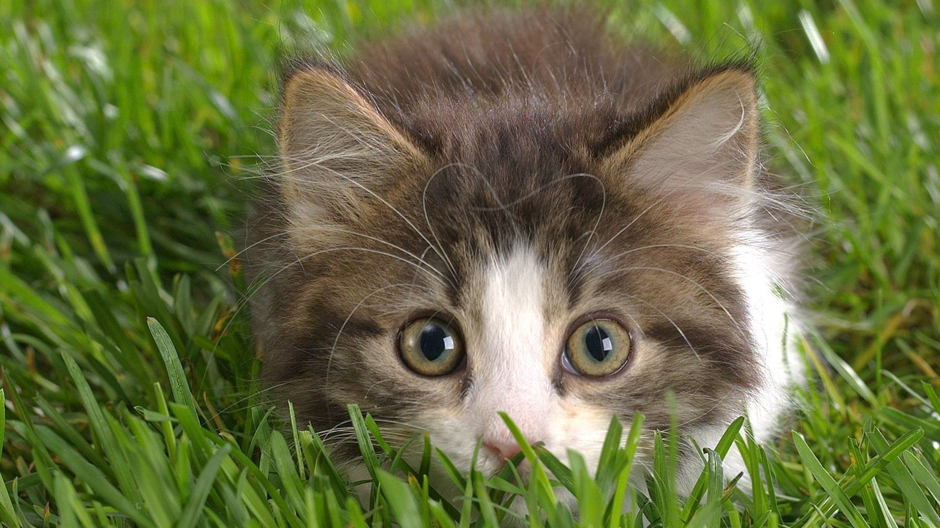 138966 download wallpaper Animals, Kitty, Kitten, Grass, Hunting, Hunt, Eyes, Fright screensavers and pictures for free
