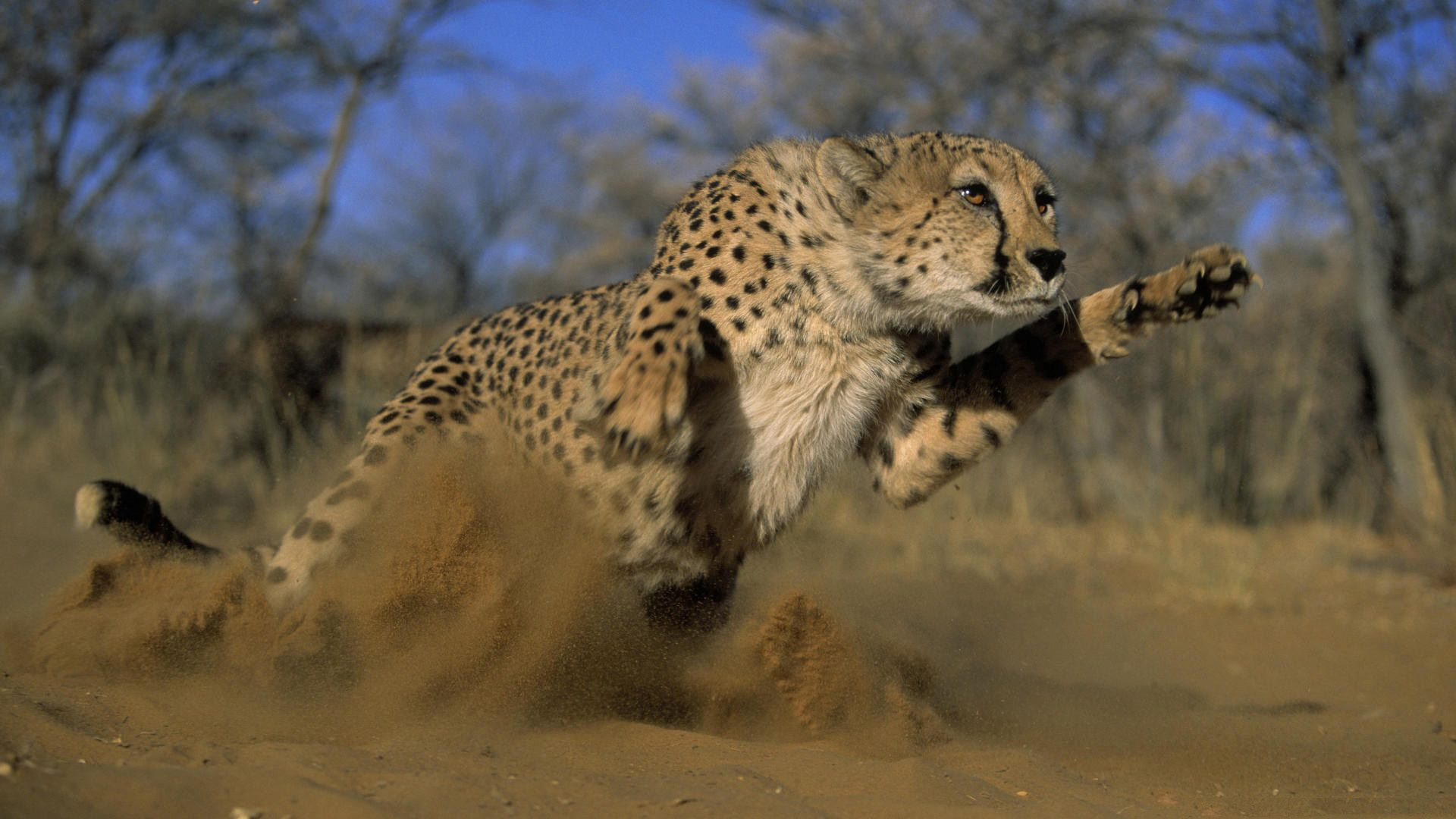 73934 download wallpaper Animals, Grass, Cheetah, Field, Dust, Bounce, Jump, Run Away, Run screensavers and pictures for free