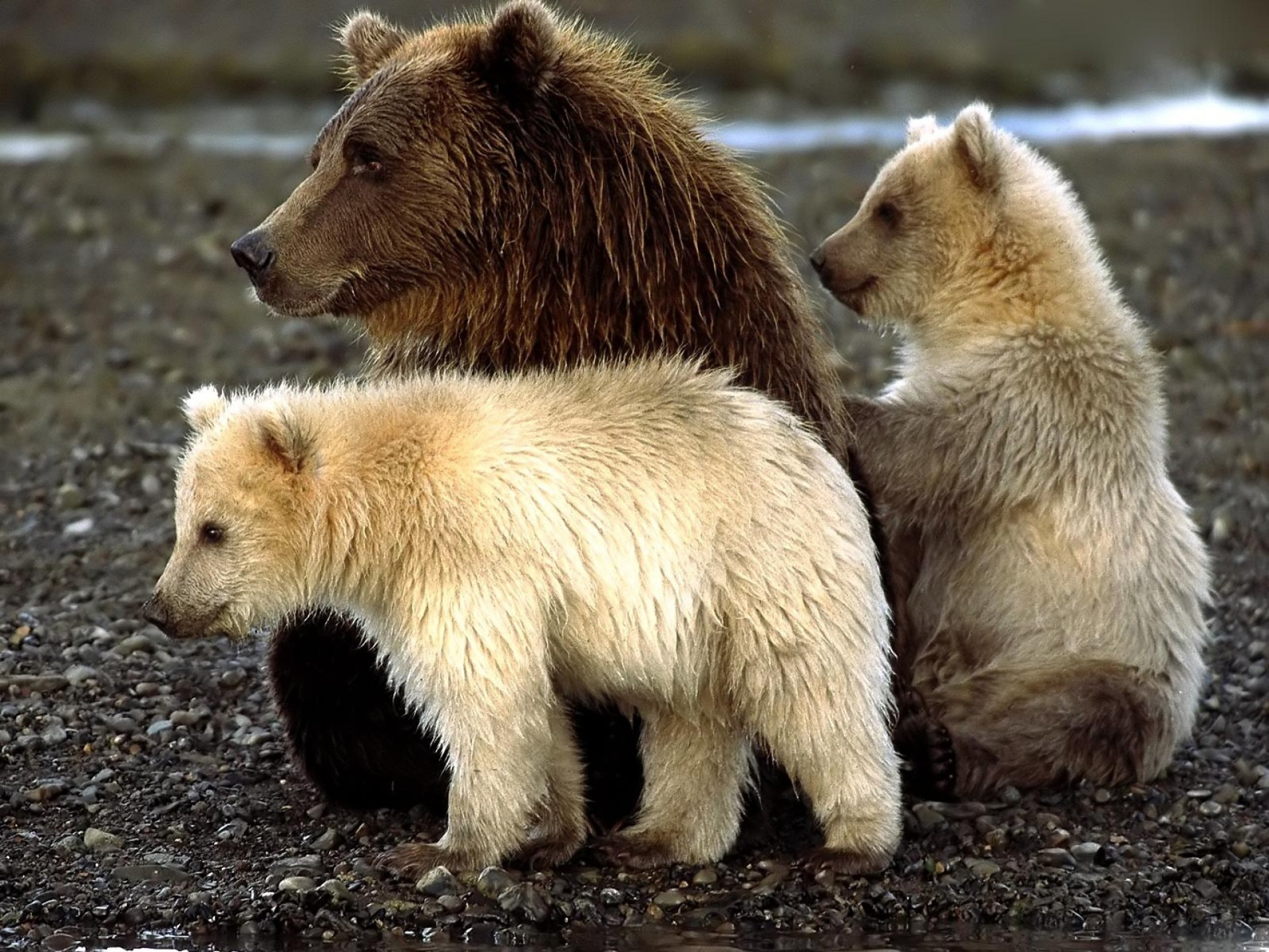 88308 Screensavers and Wallpapers Bears for phone. Download Animals, Bears, Sit, Young, Playful, Cubs pictures for free