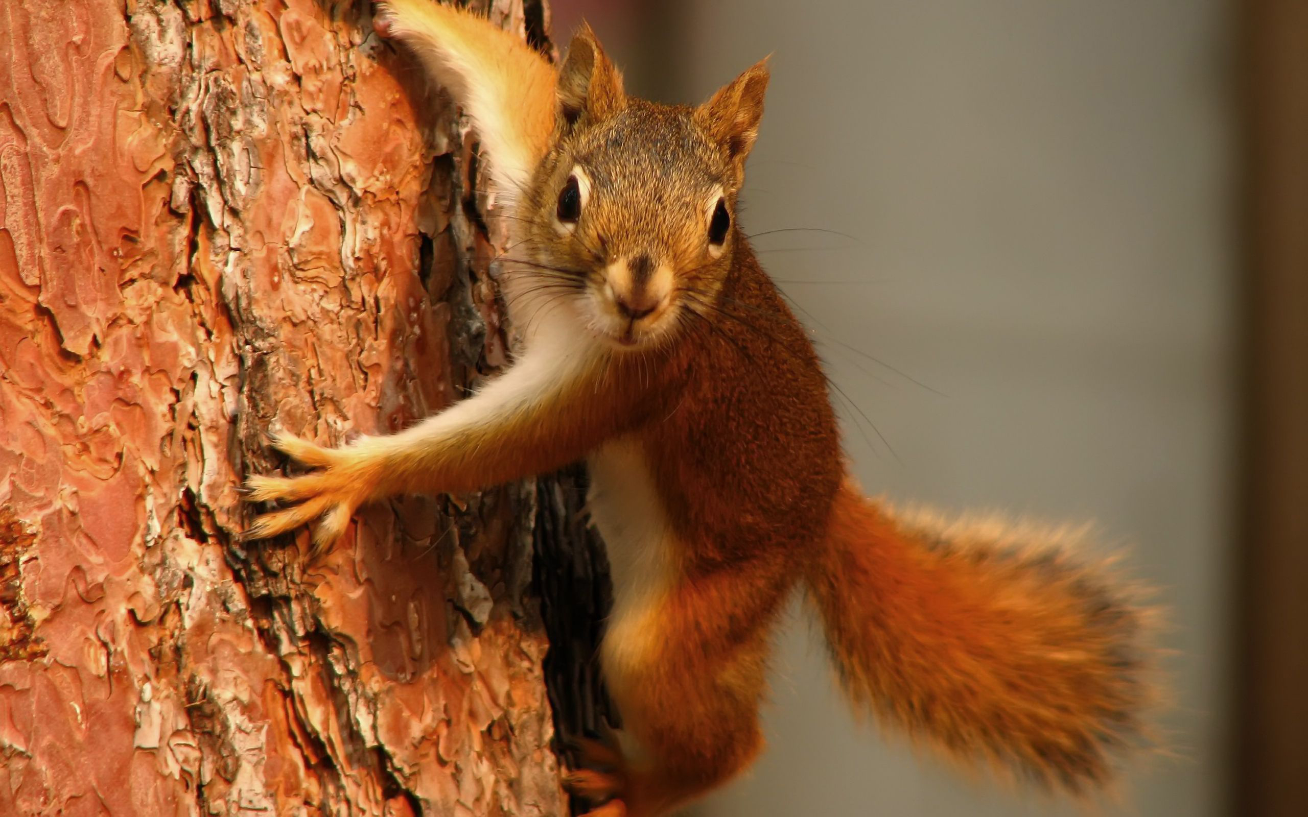 33925 download wallpaper Animals, Squirrel screensavers and pictures for free