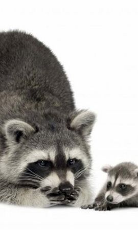 19901 download wallpaper Animals, Raccoons screensavers and pictures for free