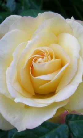 5249 télécharger le fond d'écran Plantes, Fleurs, Roses - économiseurs d'écran et images gratuitement