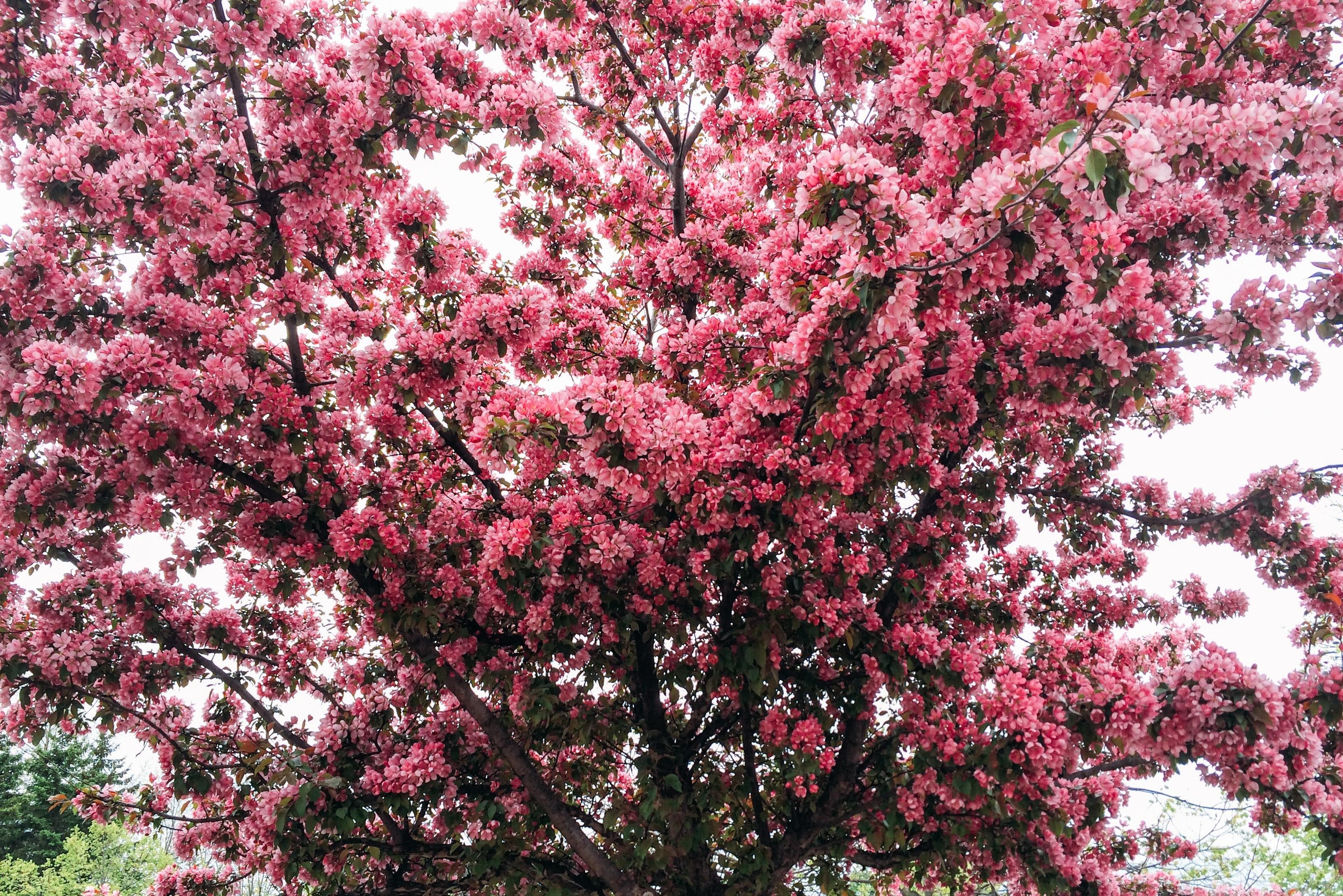 105062 скачать обои Вишня, Цветы, Дерево, Цветение, Весна - заставки и картинки бесплатно