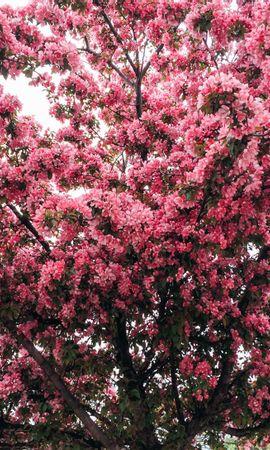 105062 скачать обои Цветы, Дерево, Вишня, Цветение, Весна - заставки и картинки бесплатно
