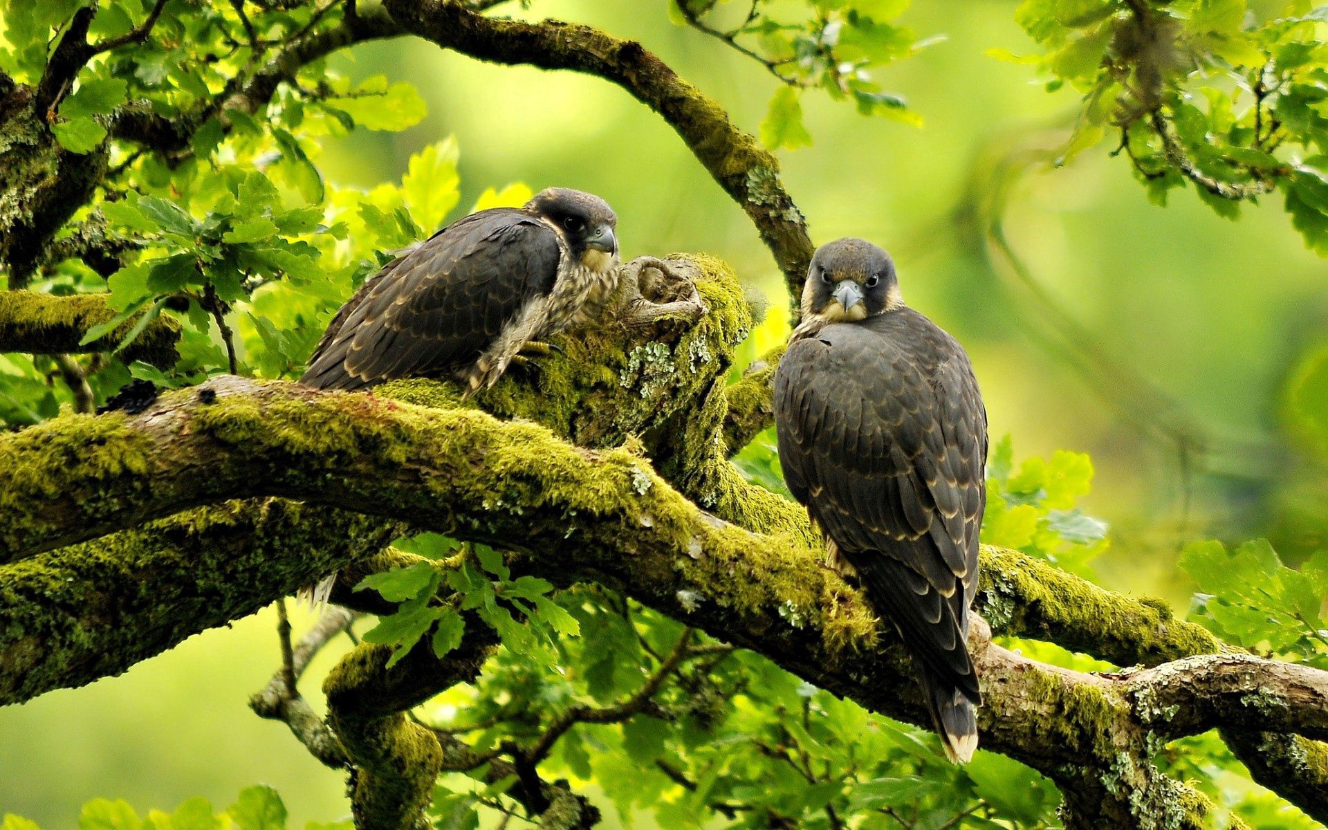 142378 Screensavers and Wallpapers Predators for phone. Download Animals, Birds, Predators, Falcons, Wood, Tree, Branches pictures for free