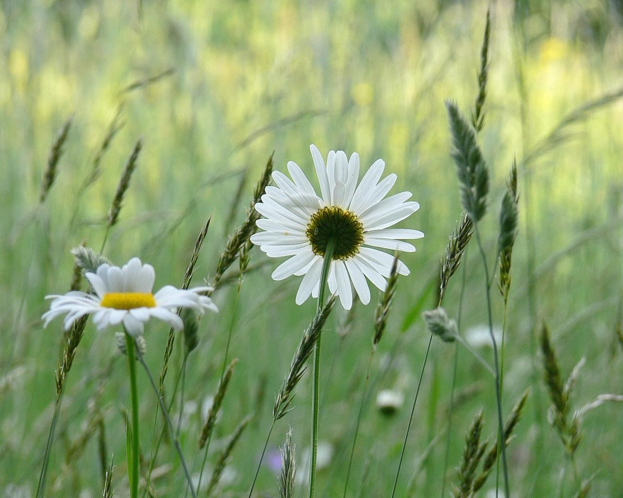 7823 скачать обои Растения, Цветы, Ромашки - заставки и картинки бесплатно