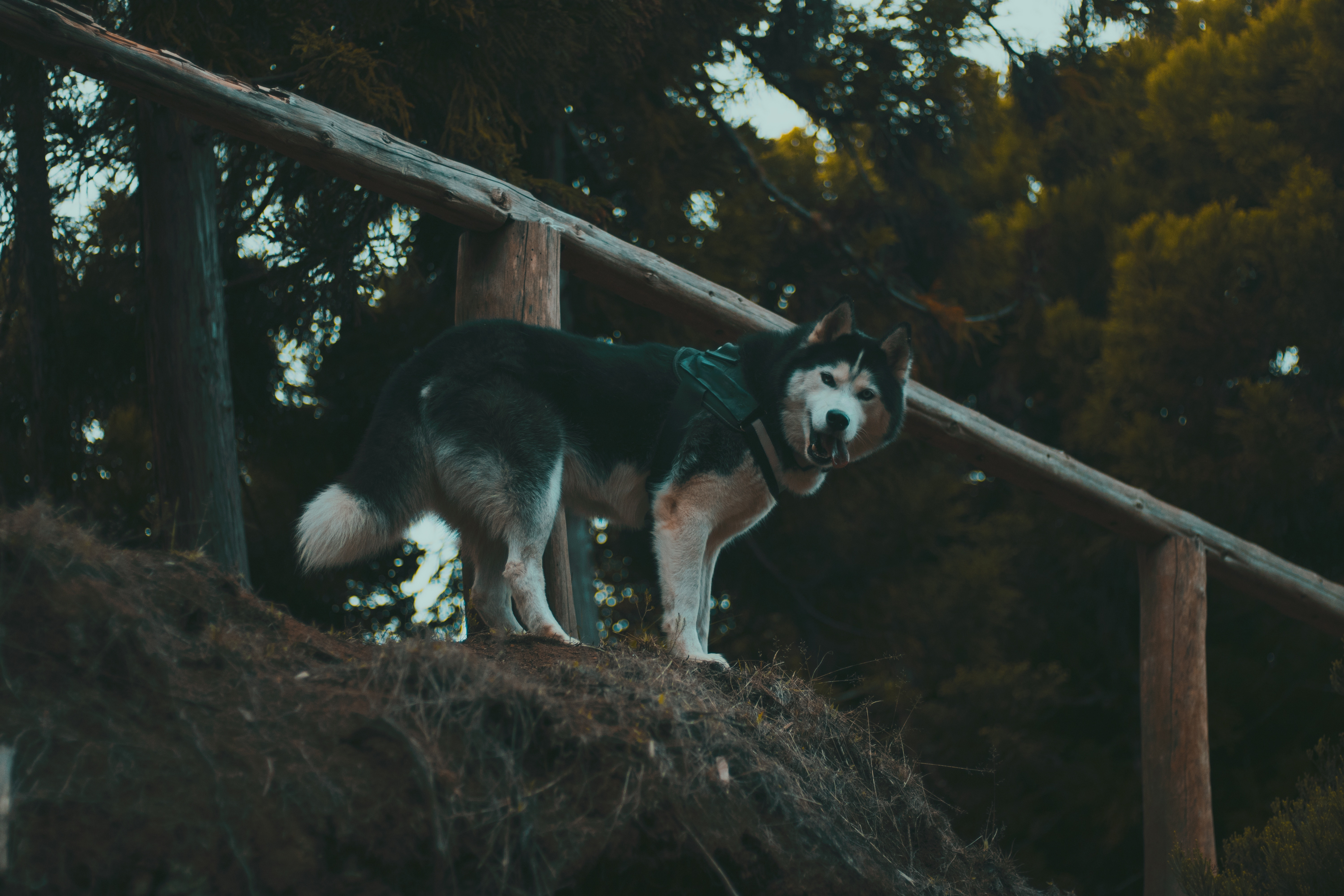 119401 download wallpaper Animals, Husky, Haska, Dog, Stroll, Worth screensavers and pictures for free