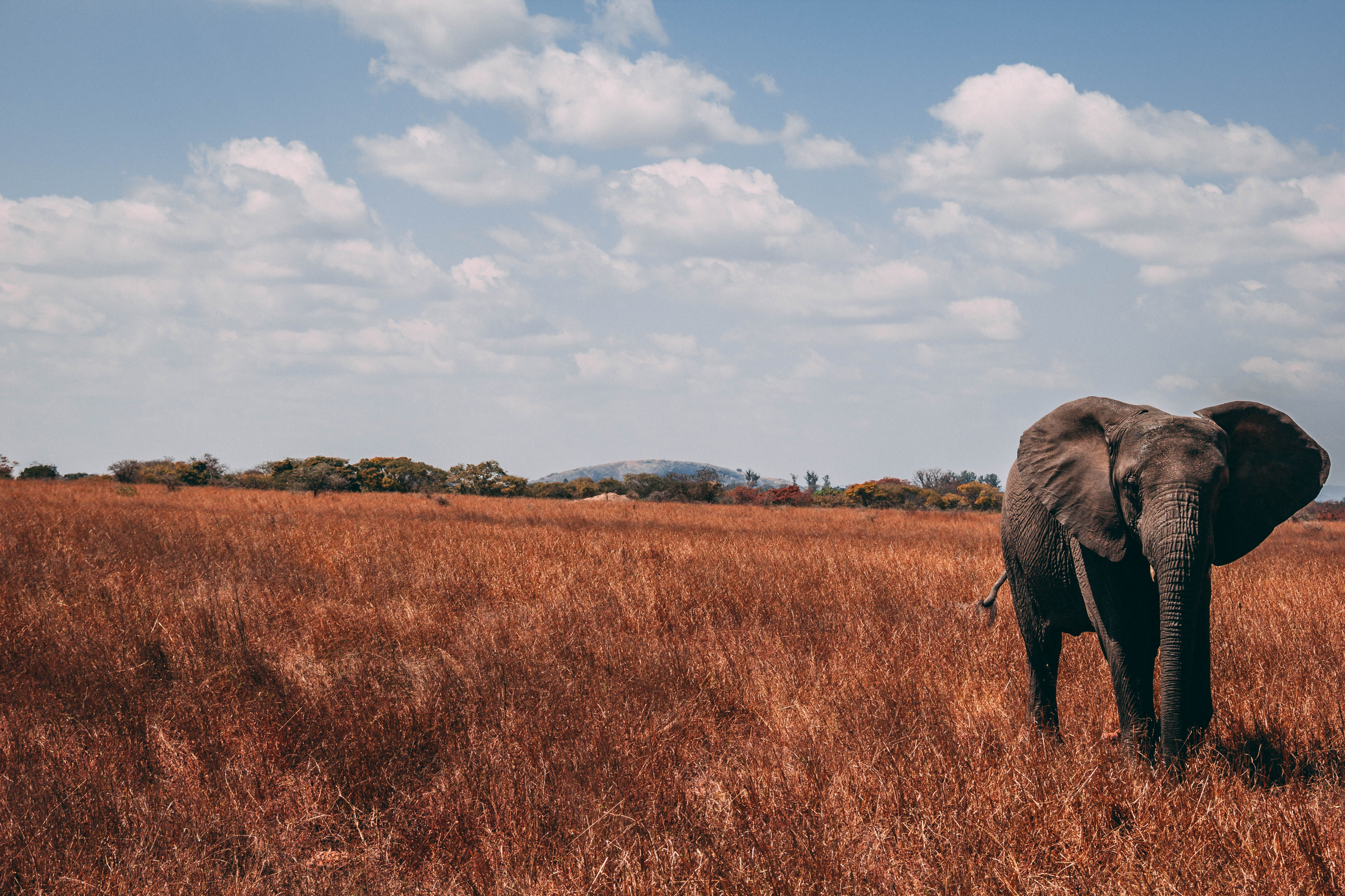 156389 download wallpaper Animals, Elephant, Stroll, Trunk, Grass screensavers and pictures for free