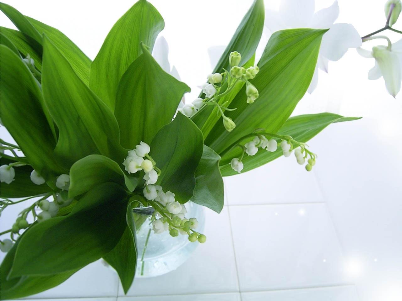 24743 免費下載壁紙 植物, 花卉, 铃兰 屏保和圖片