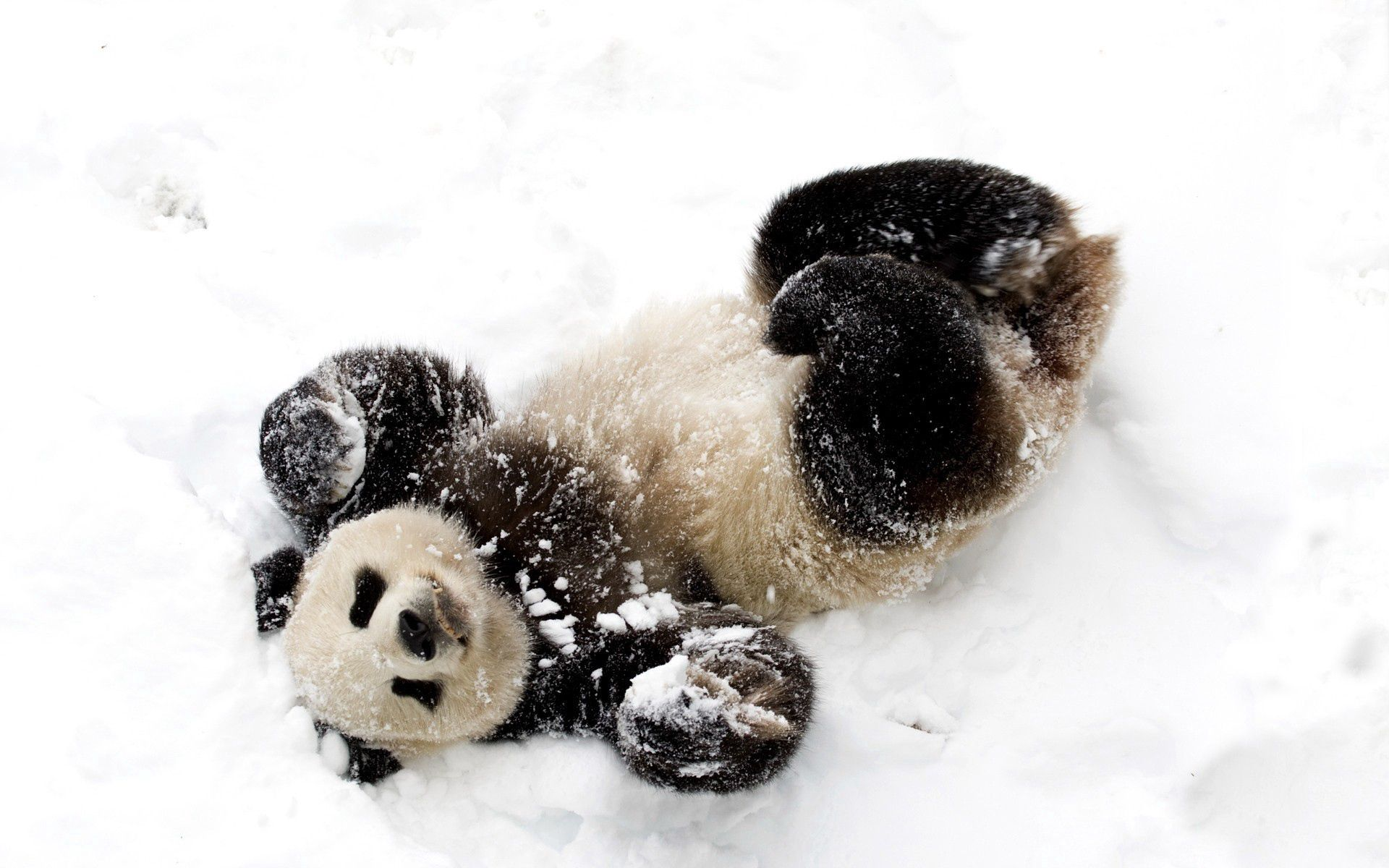 125310 download wallpaper Animals, Snow, Spotted, Spotty, Playful, Panda, Bamboo Bear screensavers and pictures for free