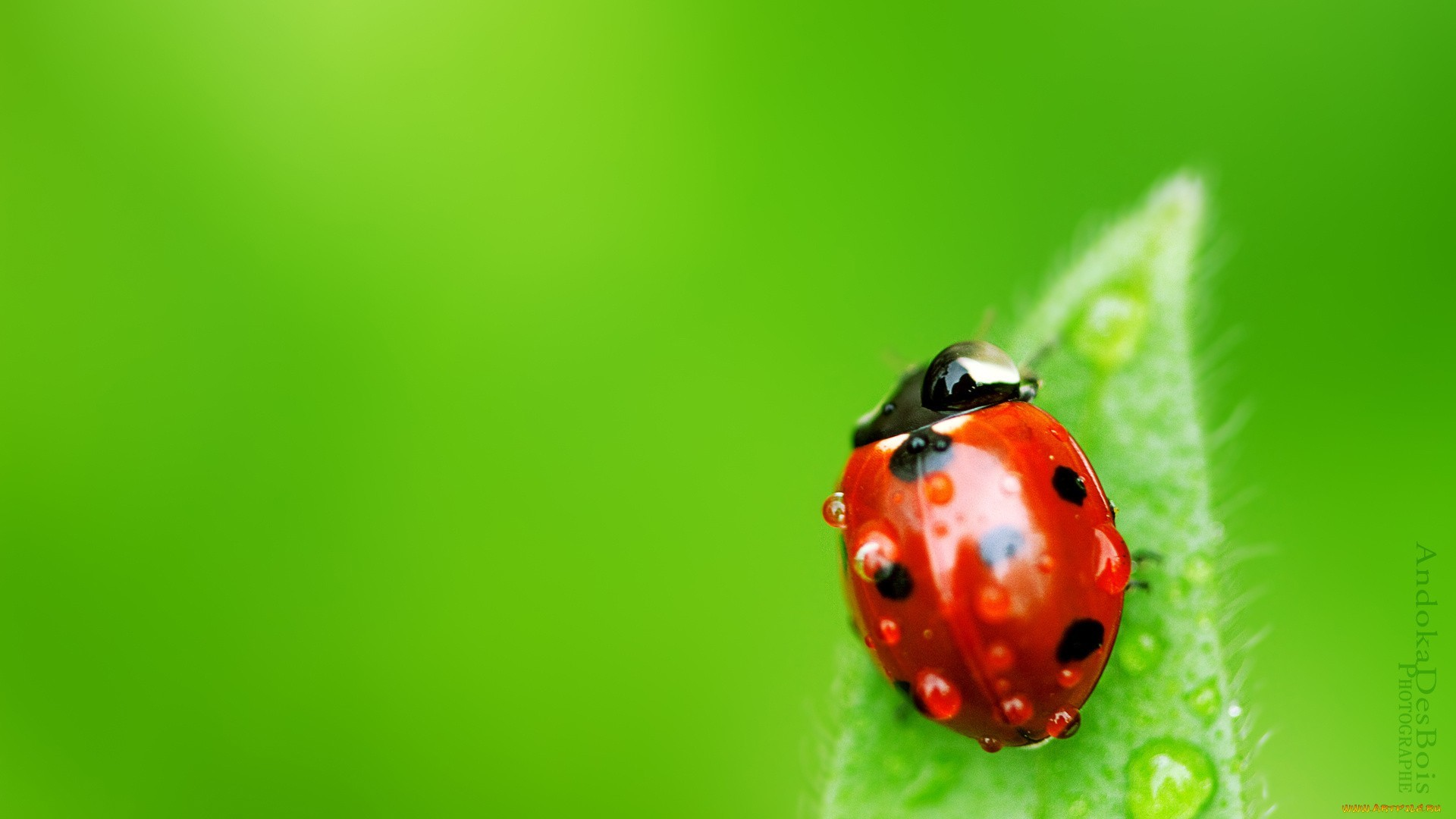 14721 download wallpaper Insects, Ladybugs screensavers and pictures for free