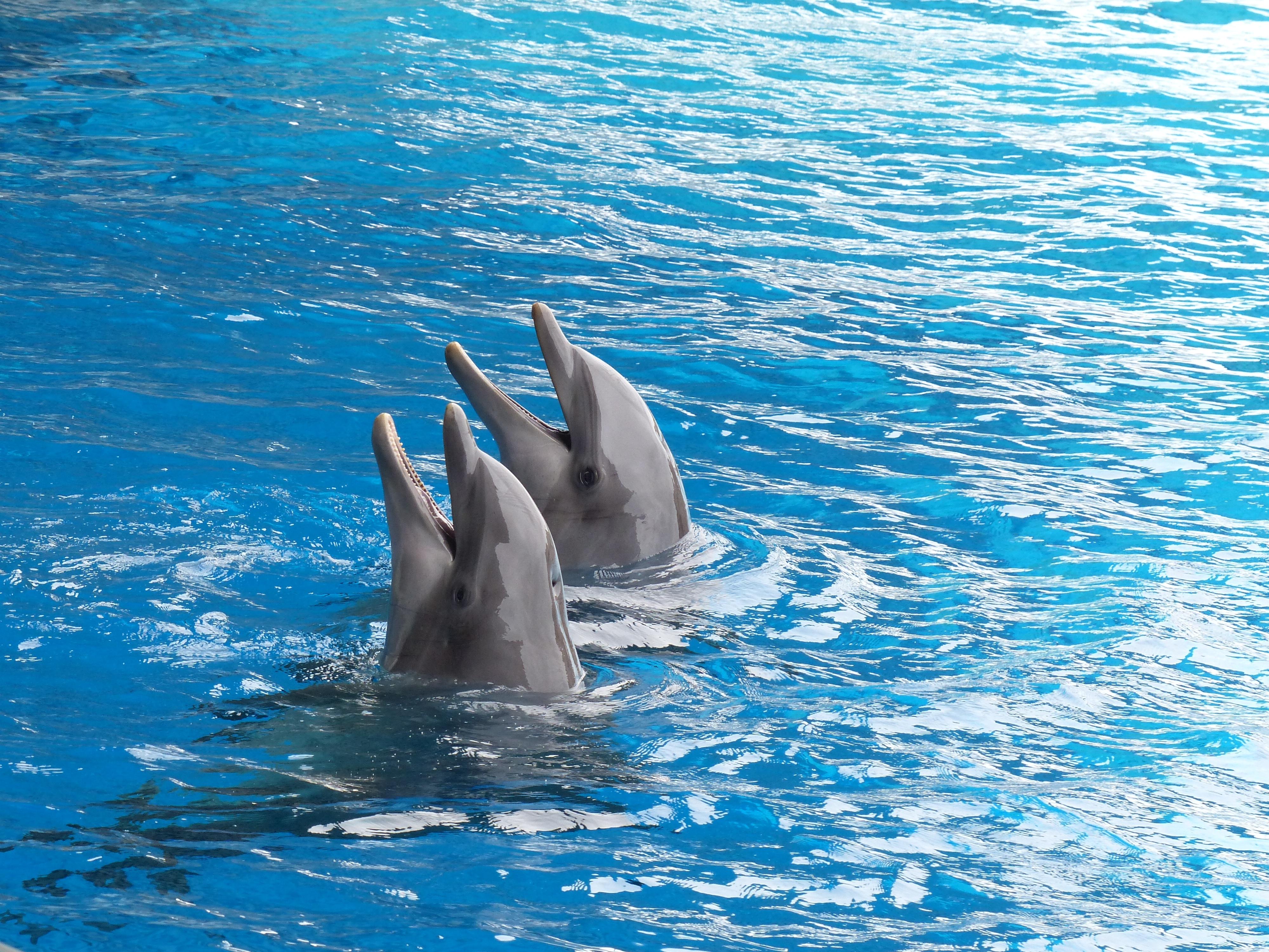 124076 Hintergrundbild herunterladen Delfine, Tiere, Wasser, Paar, Duett - Bildschirmschoner und Bilder kostenlos