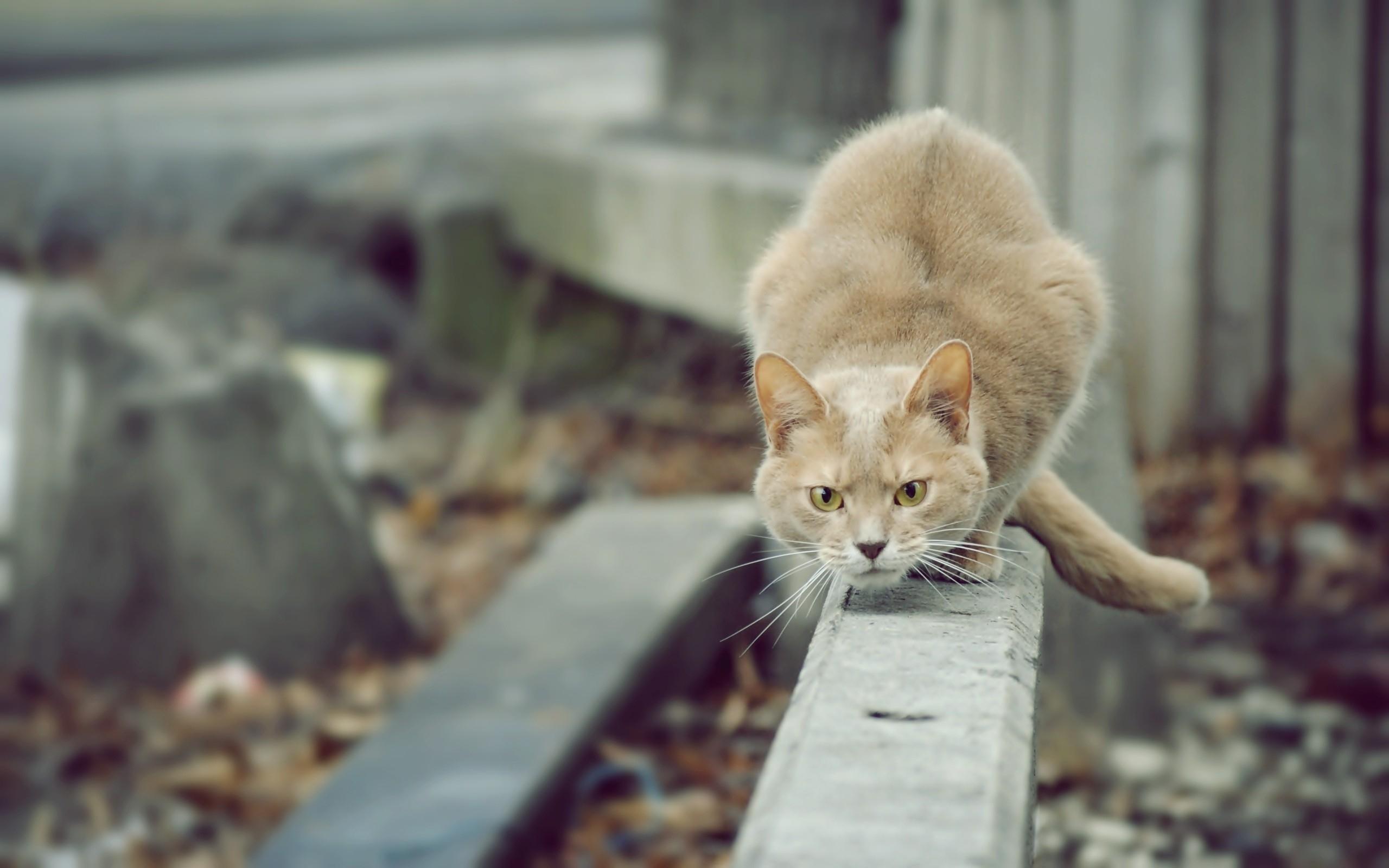24552 скачать обои Животные, Кошки (Коты, Котики) - заставки и картинки бесплатно