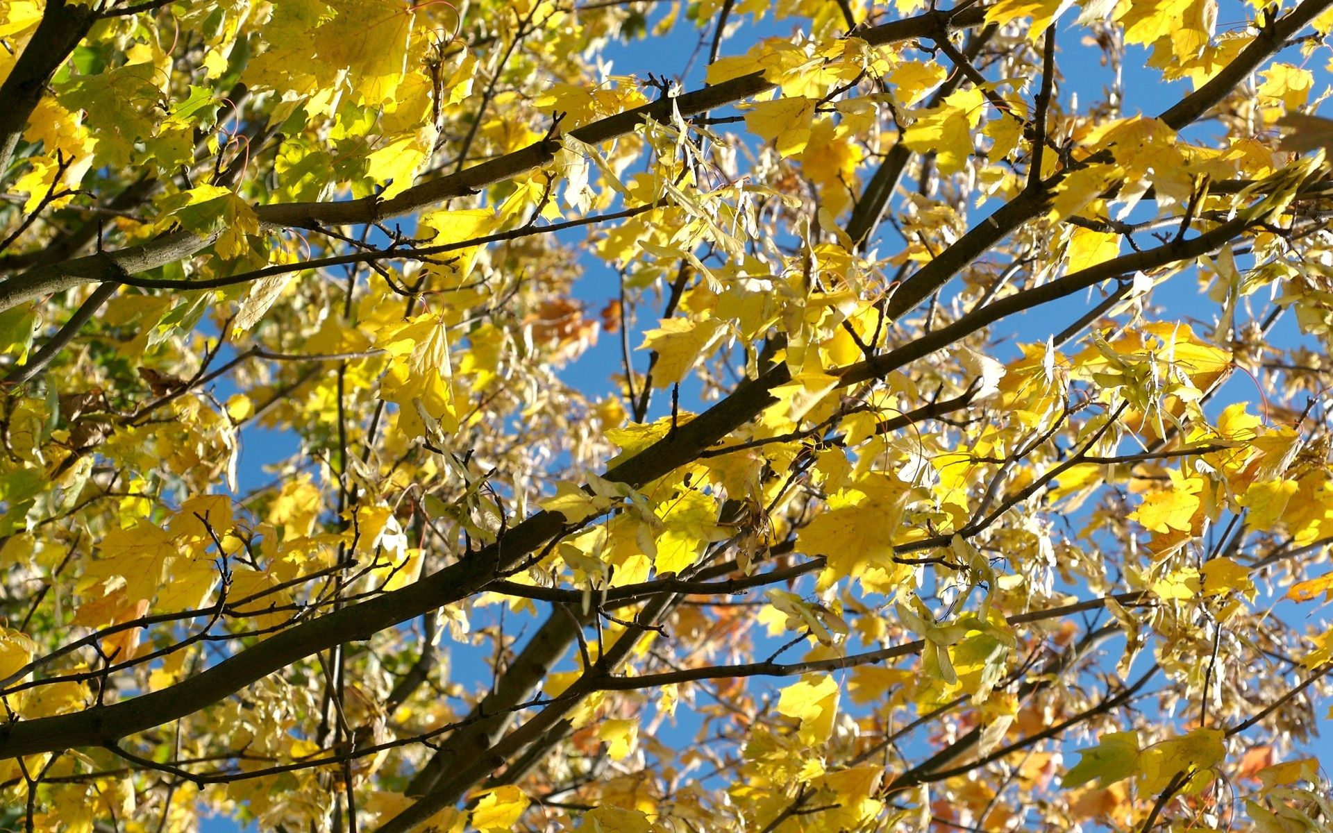 141129 download wallpaper Nature, Leaves, Autumn, Maple, Branches, Wood, Tree screensavers and pictures for free