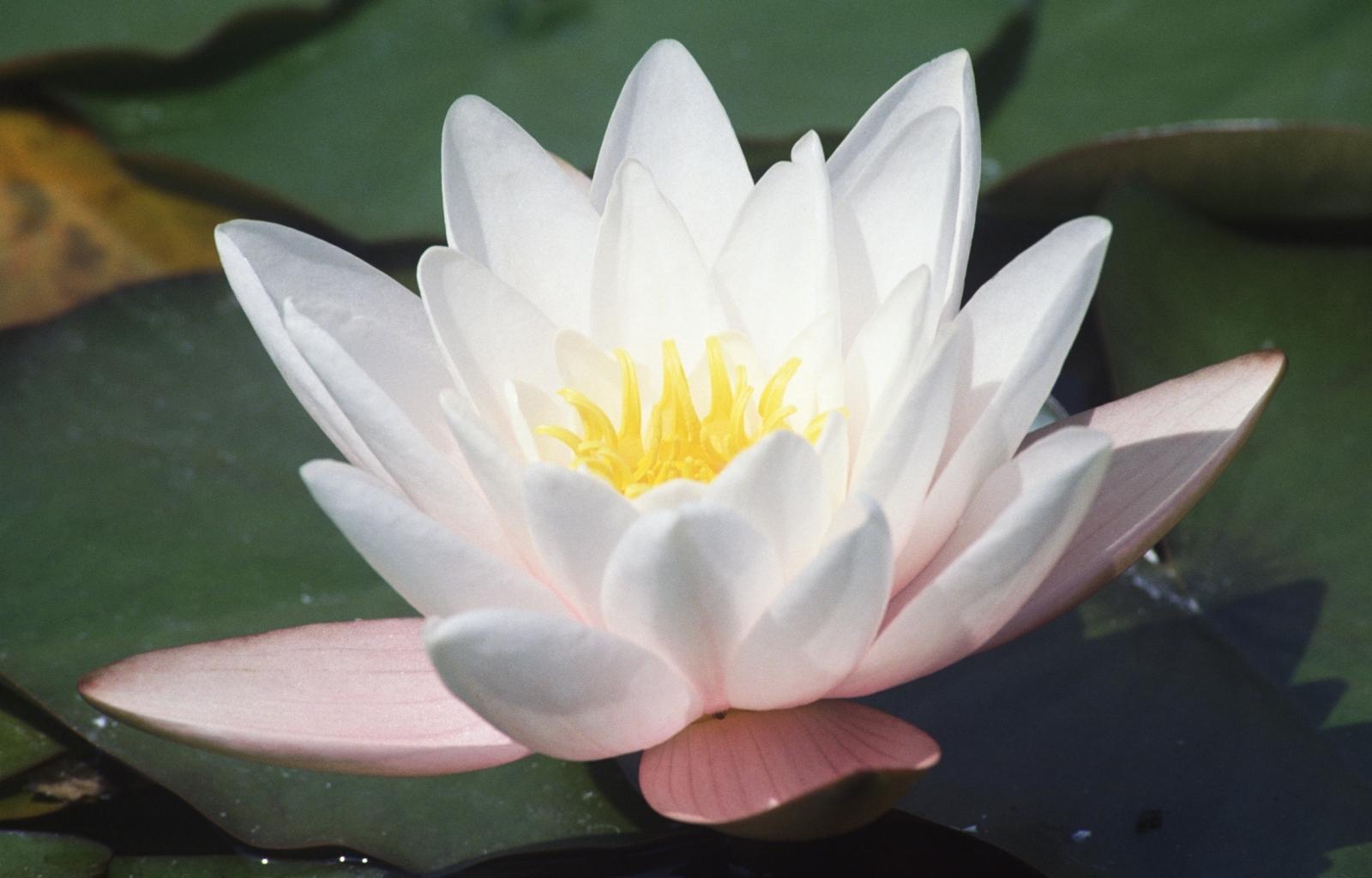 5020 télécharger le fond d'écran Plantes, Fleurs, Lilies - économiseurs d'écran et images gratuitement