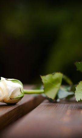 24856 скачать обои Растения, Цветы, Розы - заставки и картинки бесплатно