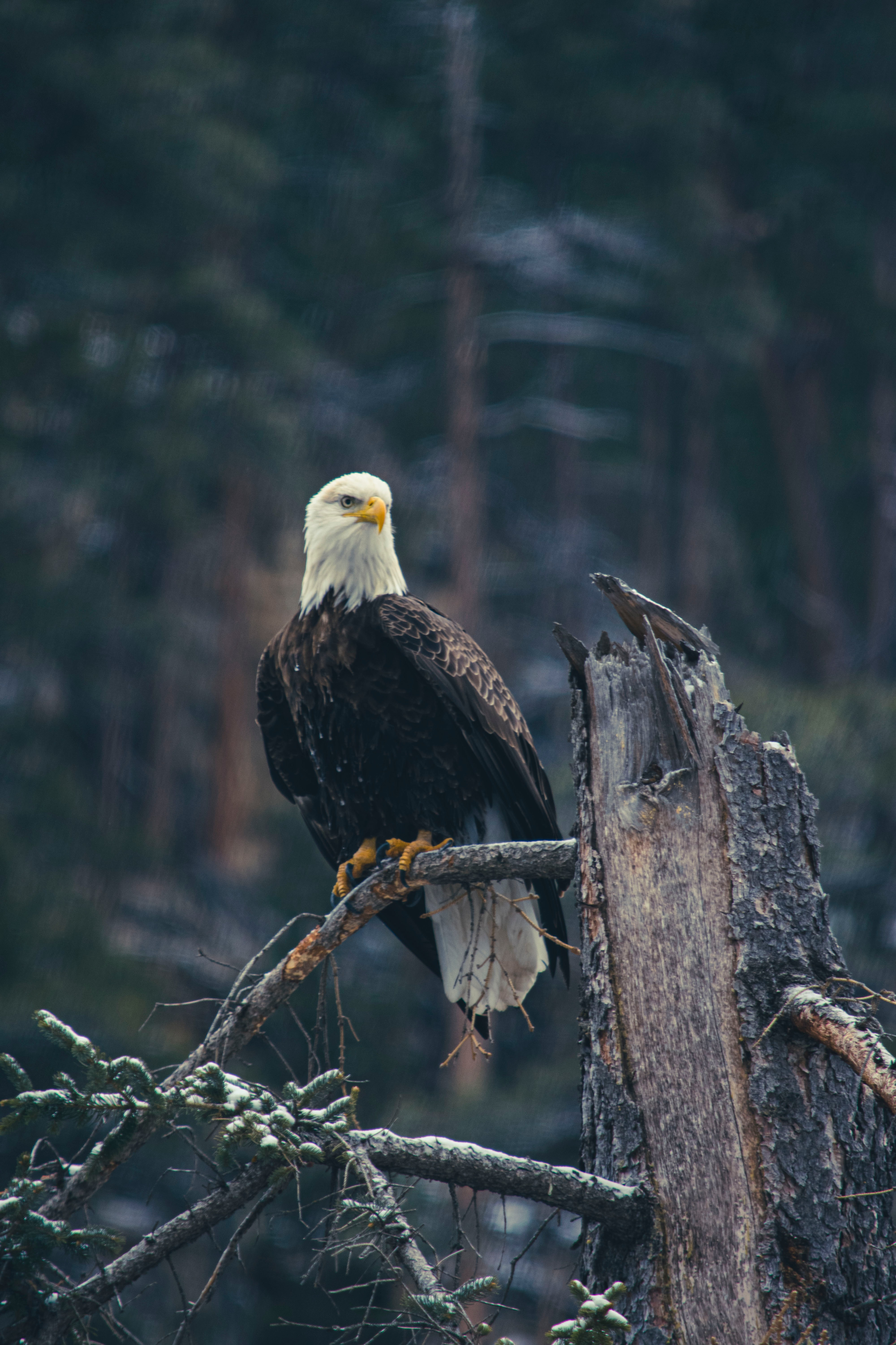 111899 download wallpaper Animals, Bald Eagle, White-Headed Eagle, Eagle, Bird, Predator, Branch screensavers and pictures for free