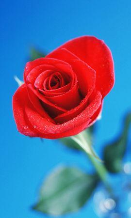 19553 baixar papel de parede Plantas, Flores, Rosas - protetores de tela e imagens gratuitamente