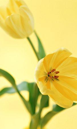 3871 скачать обои Растения, Цветы, Тюльпаны - заставки и картинки бесплатно